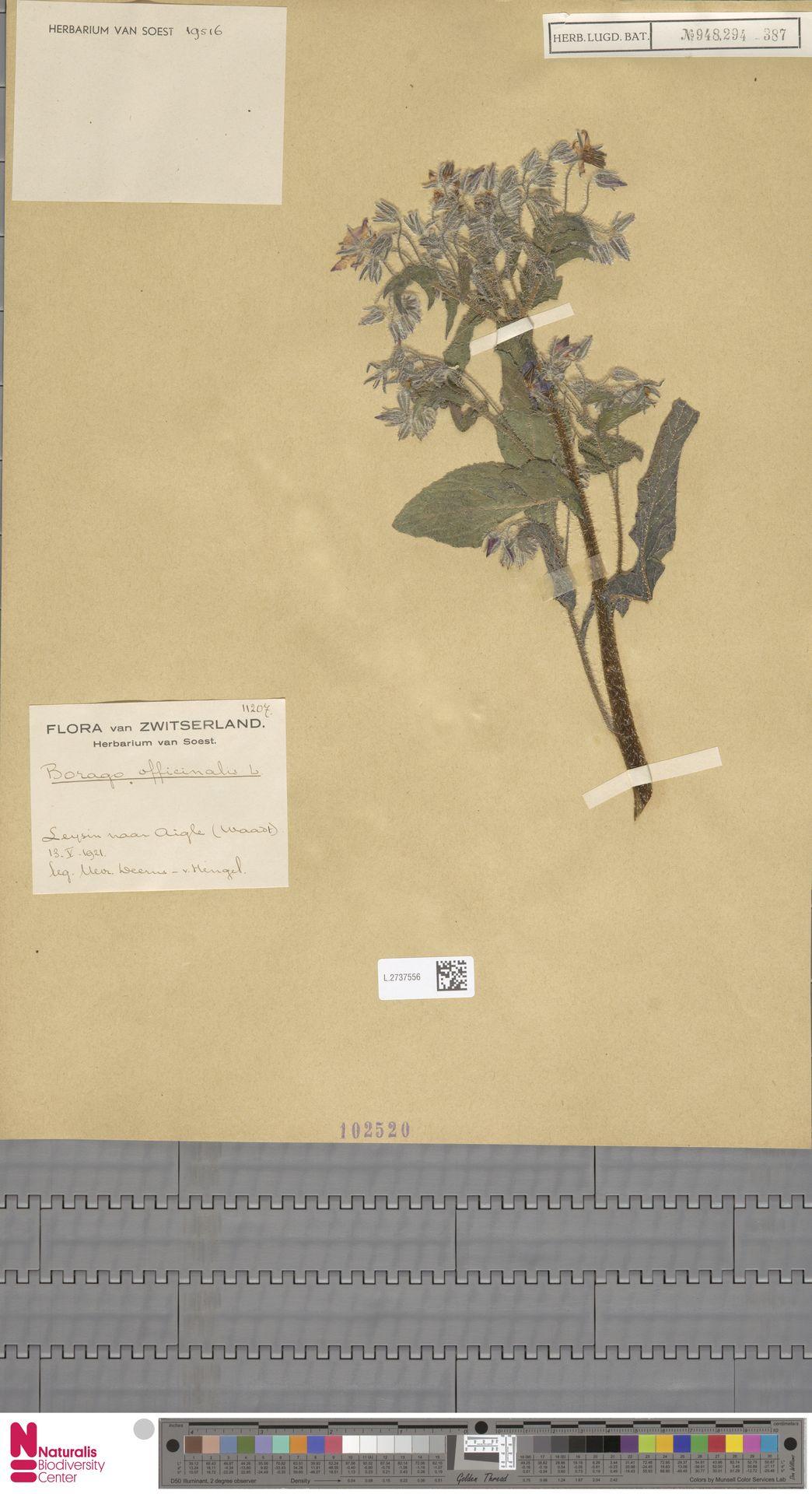 L.2737556 | Borago officinalis L.