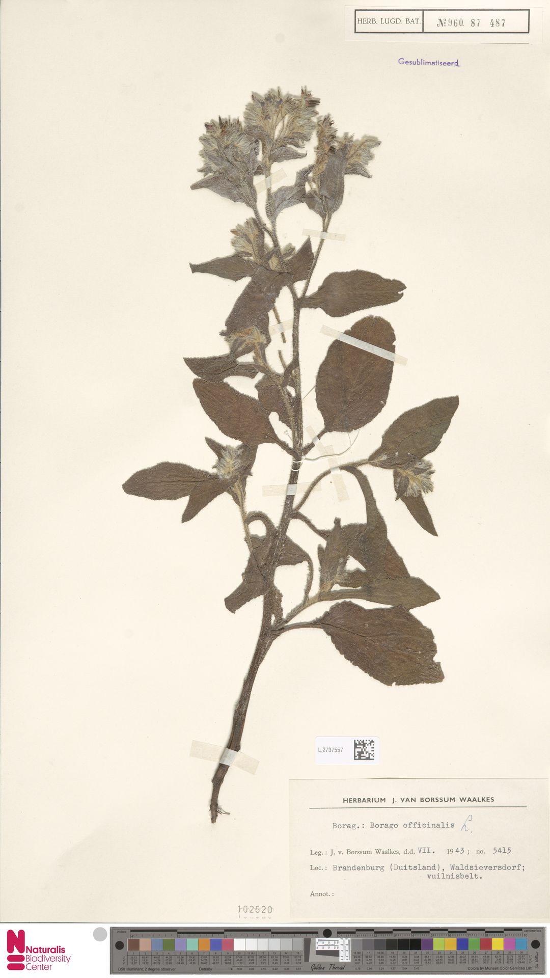 L.2737557 | Borago officinalis L.