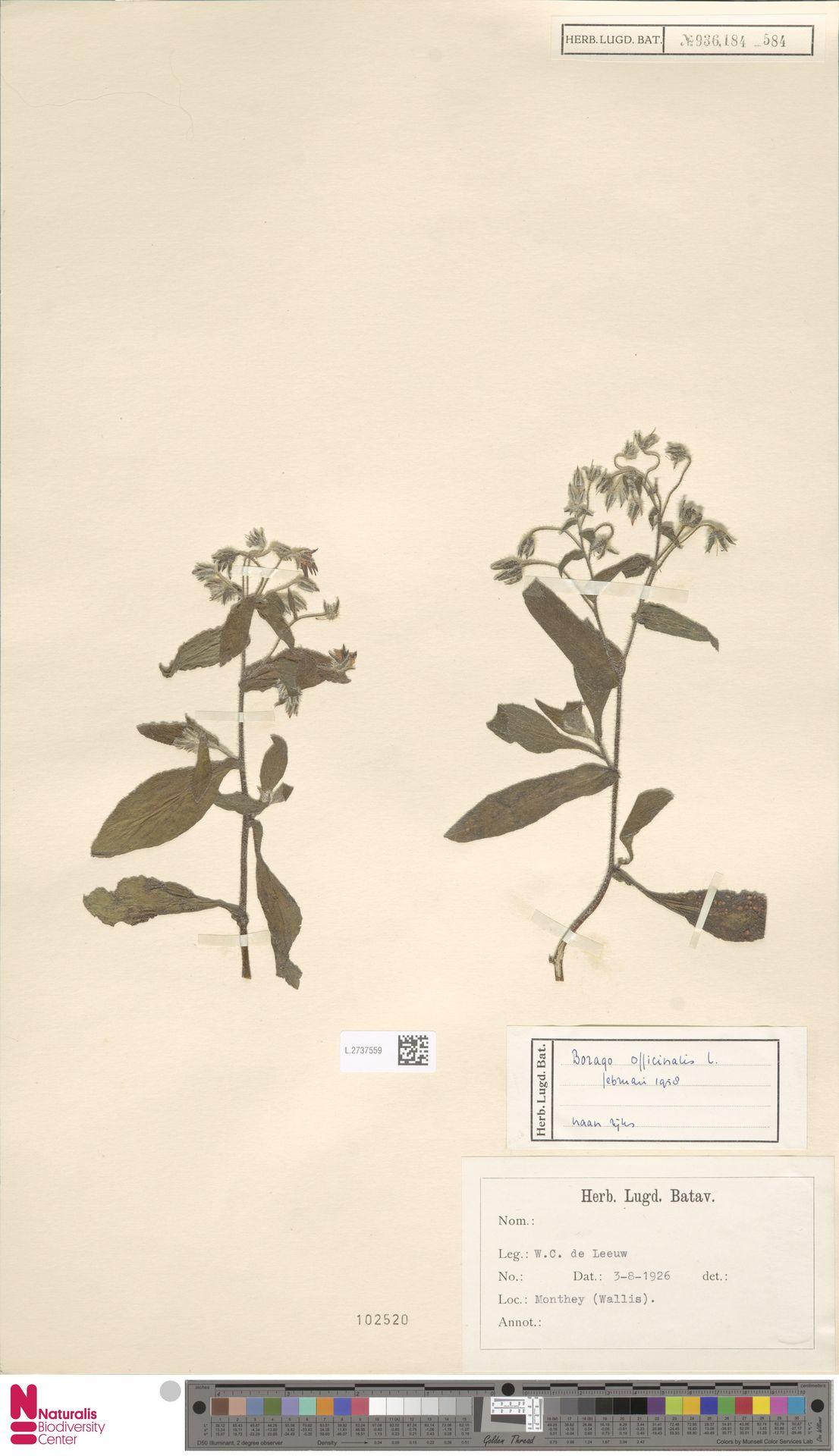 L.2737559 | Borago officinalis L.