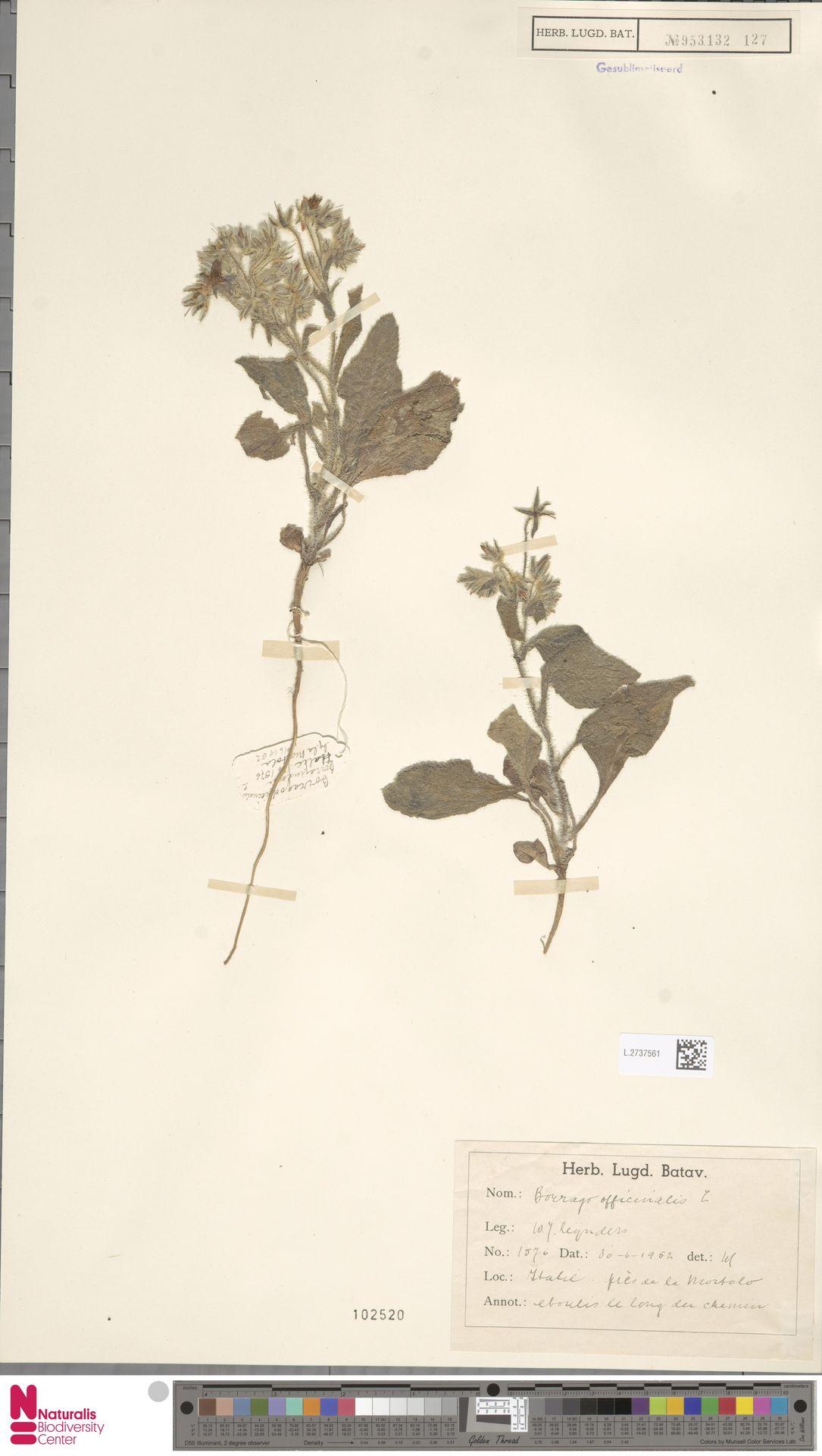 L.2737561 | Borago officinalis L.