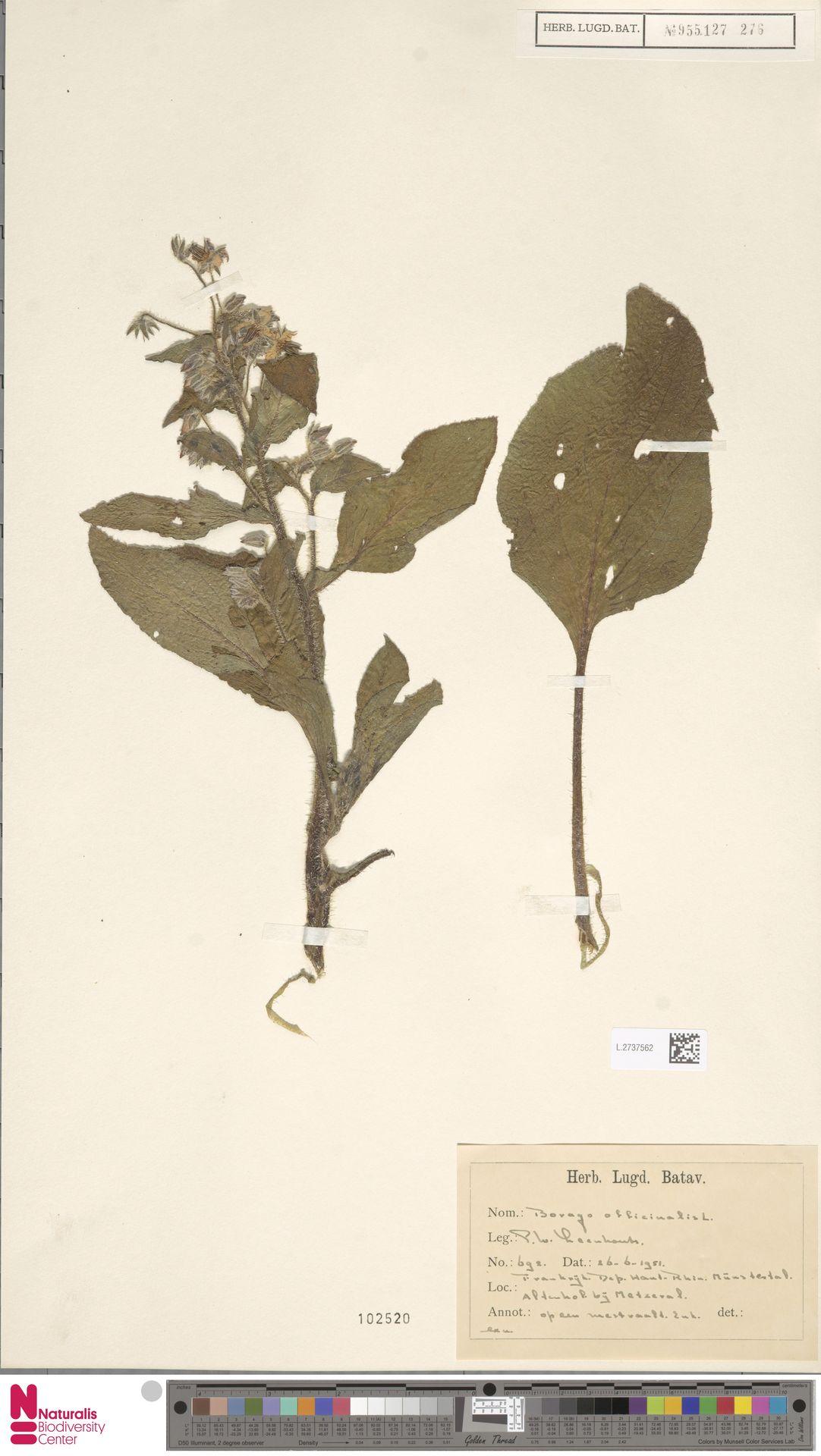 L.2737562 | Borago officinalis L.