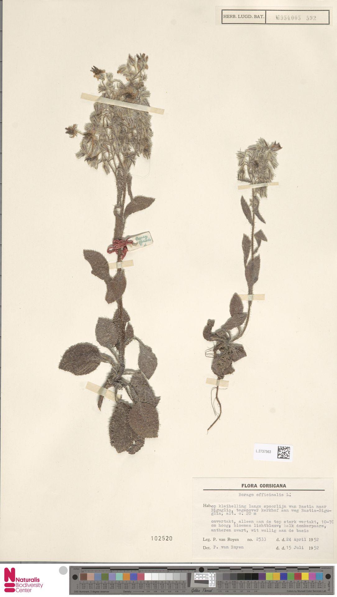 L.2737563 | Borago officinalis L.