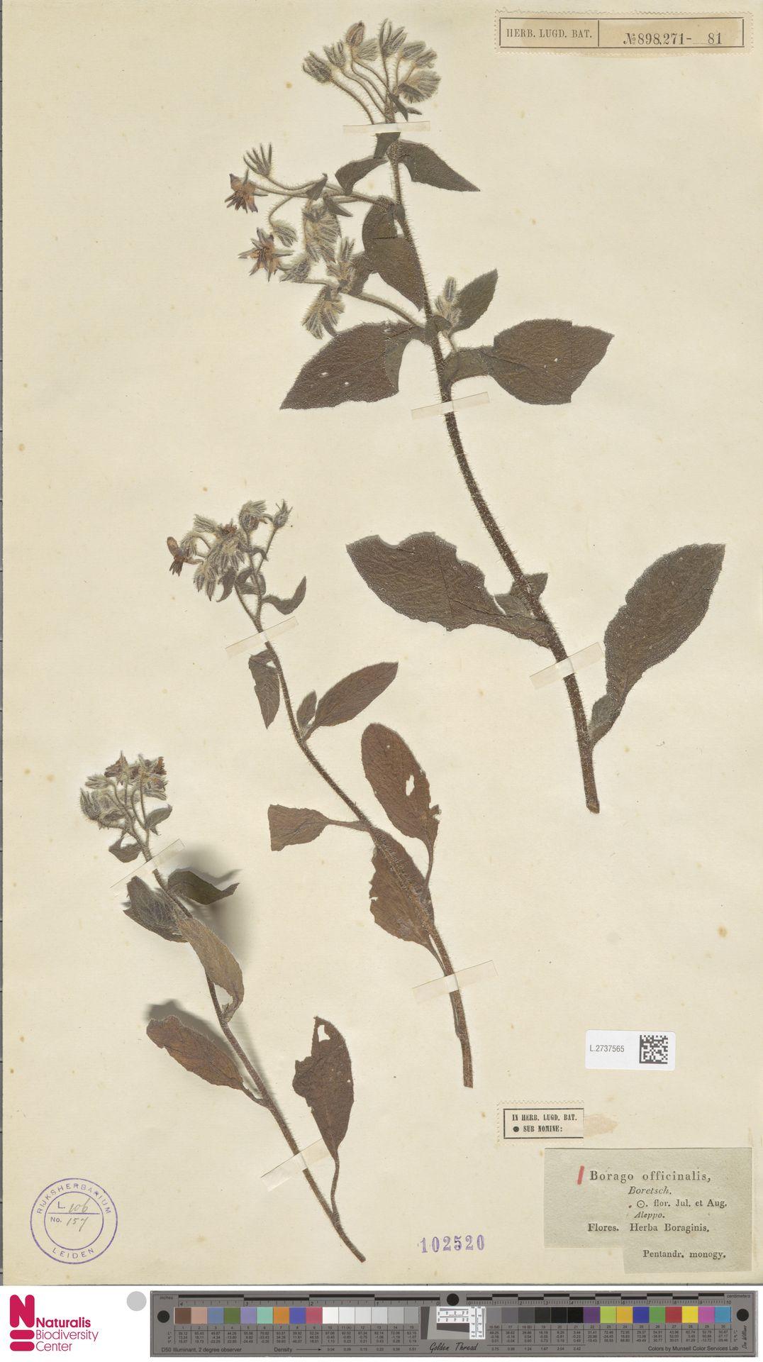 L.2737565 | Borago officinalis L.