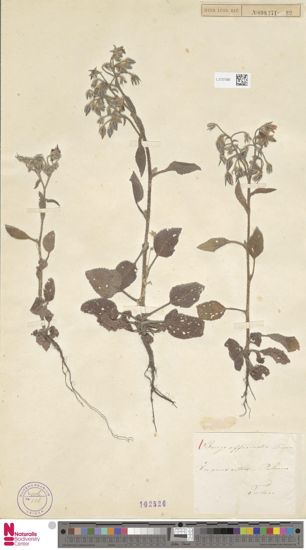 L.2737566 | Borago officinalis L.