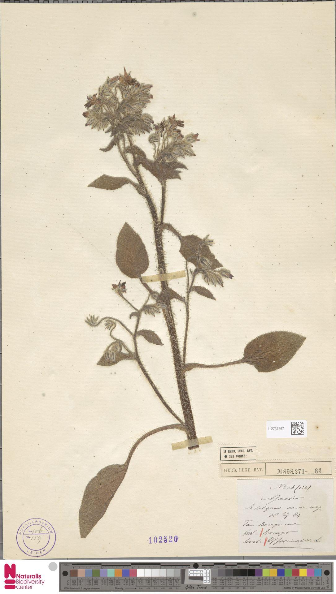L.2737567 | Borago officinalis L.