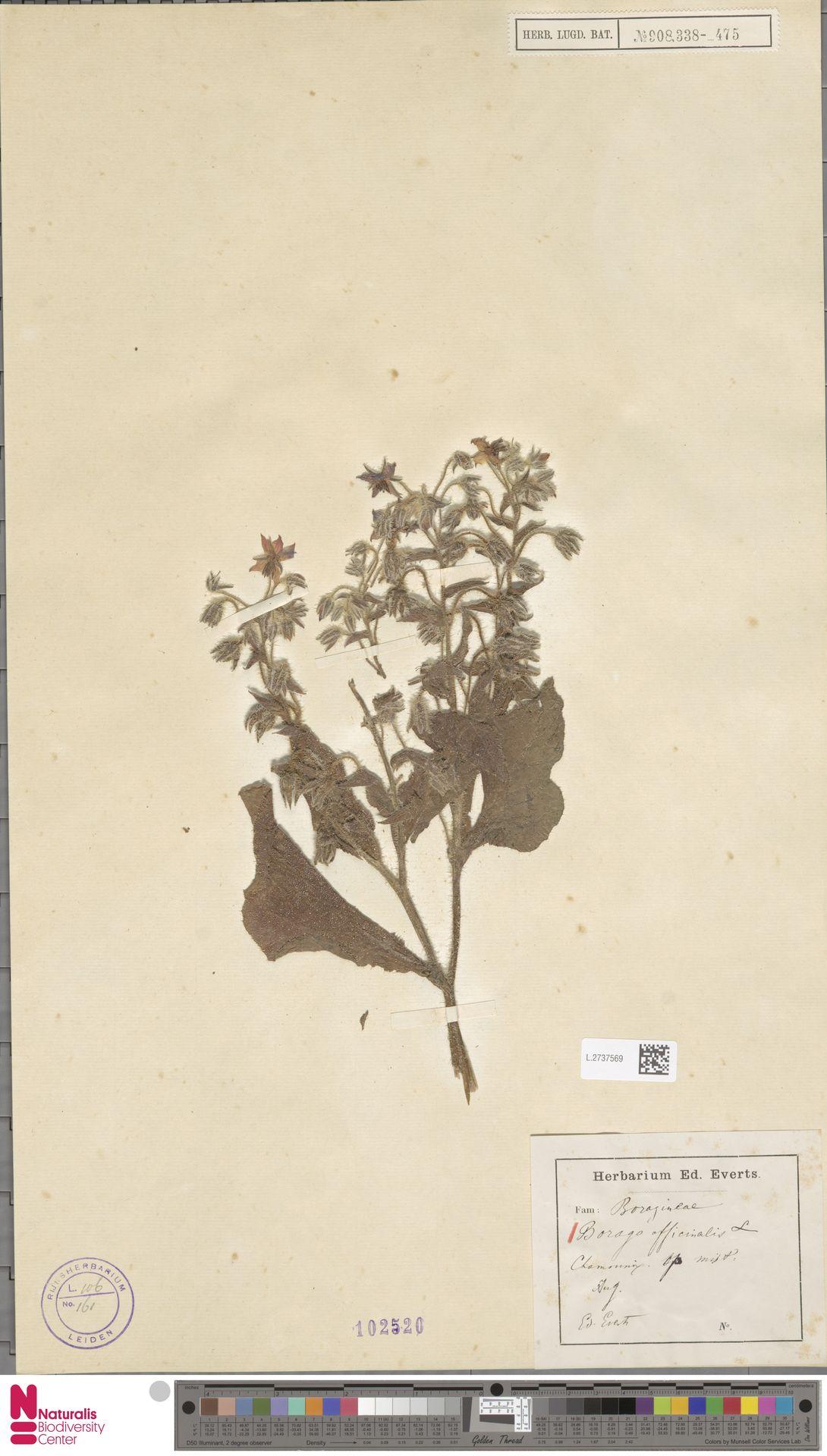 L.2737569 | Borago officinalis L.