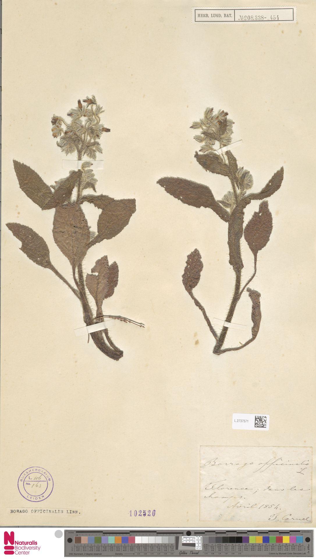 L.2737571 | Borago officinalis L.