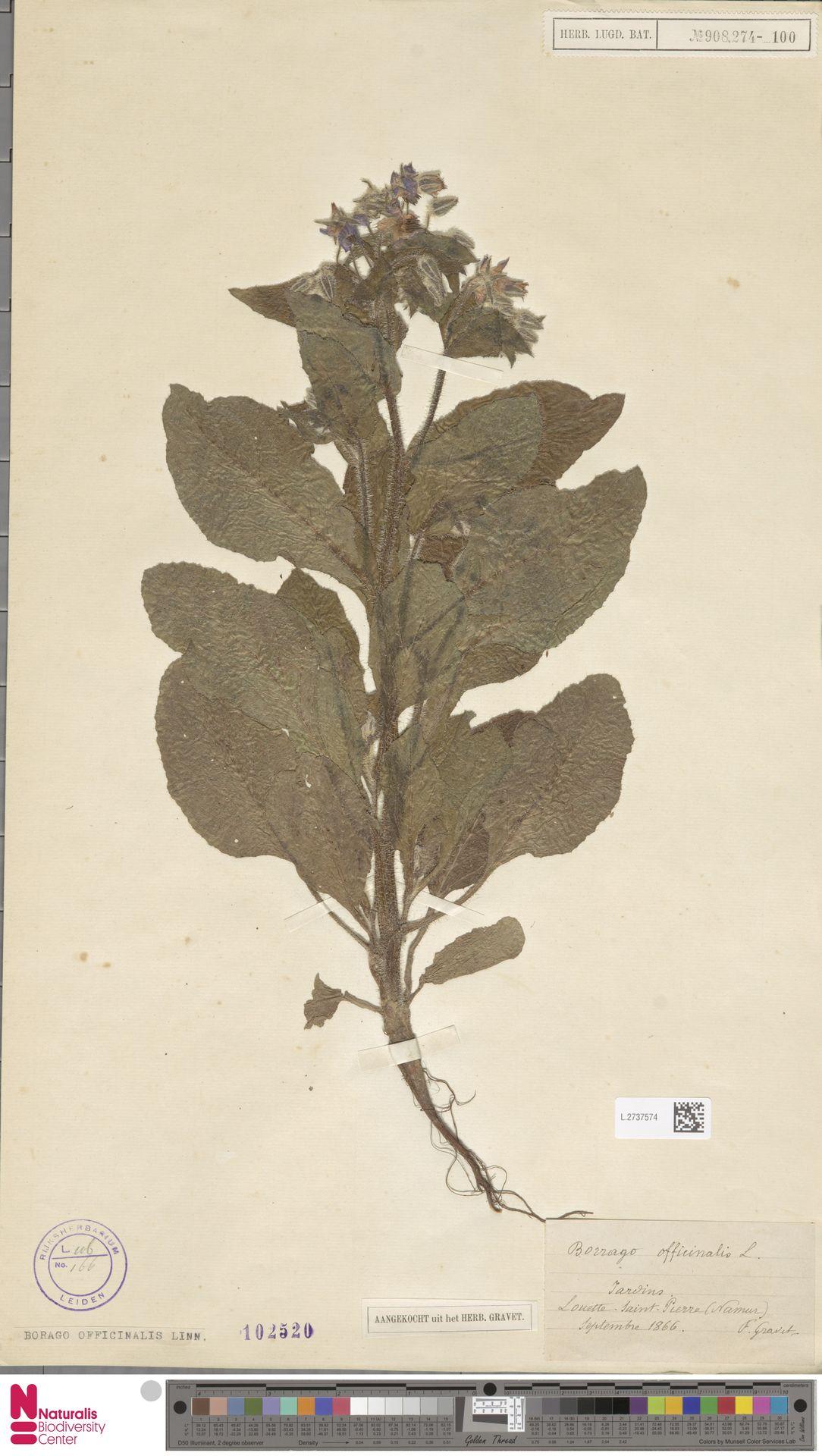 L.2737574   Borago officinalis L.