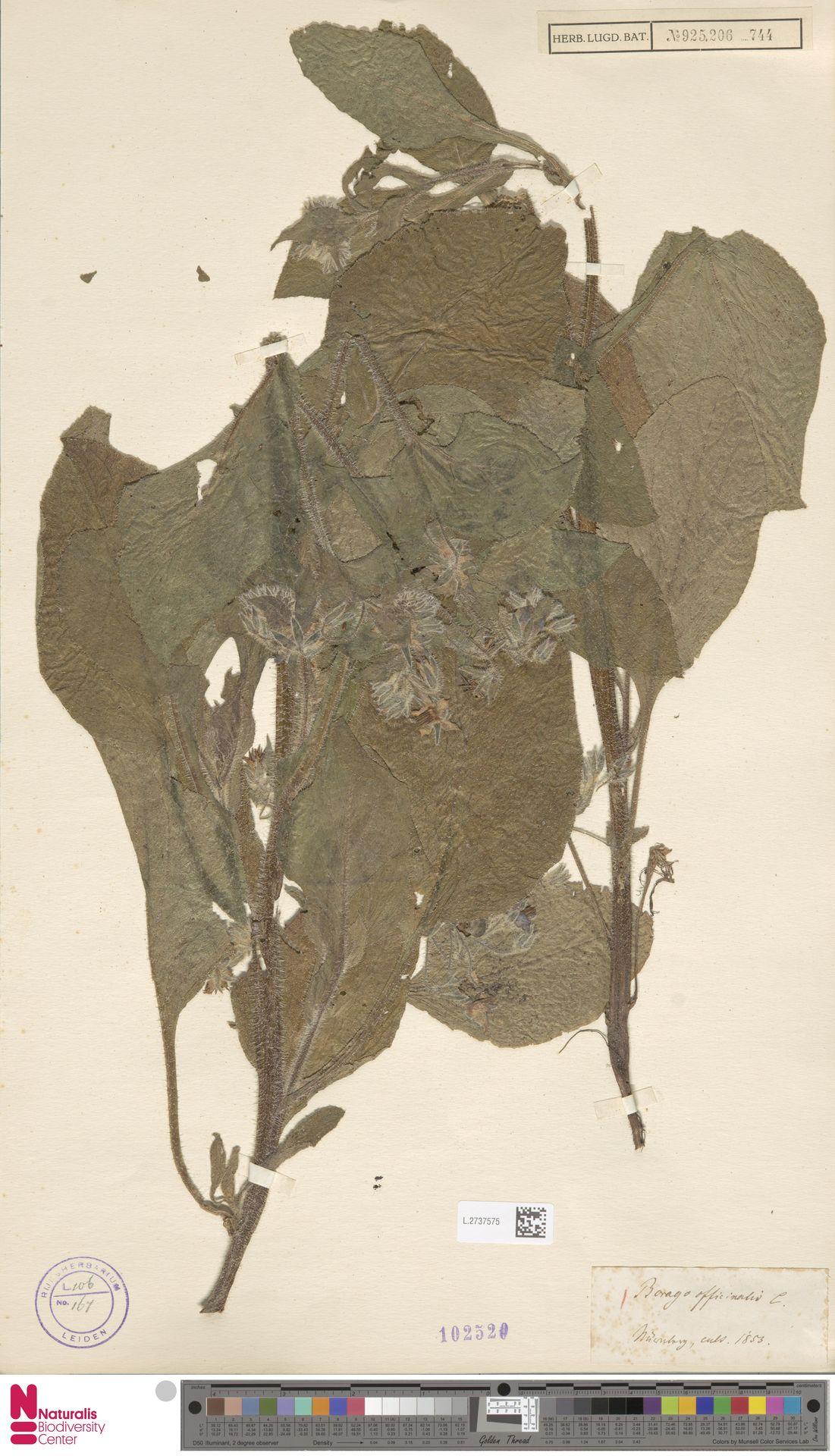 L.2737575 | Borago officinalis L.