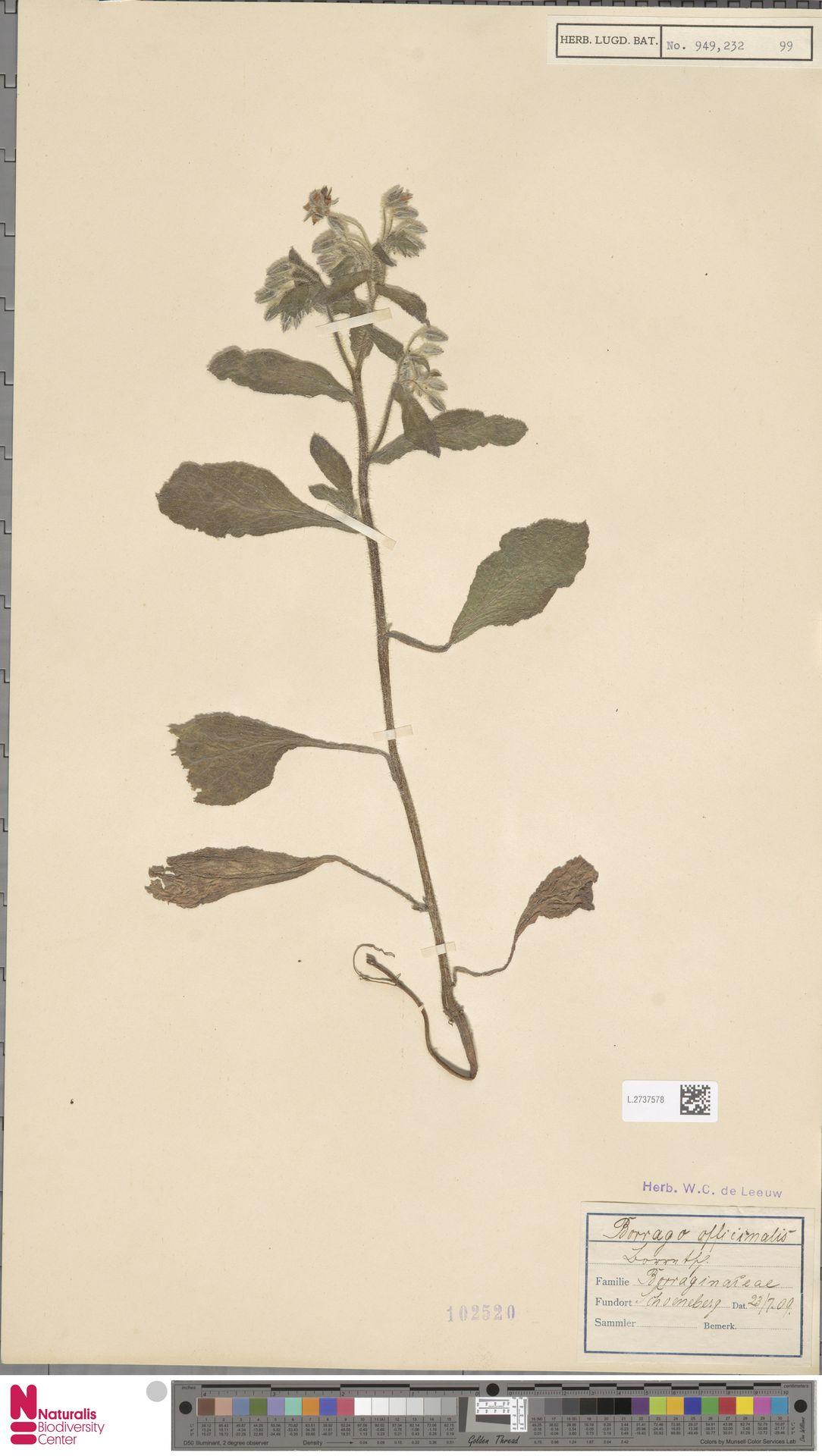 L.2737578 | Borago officinalis L.