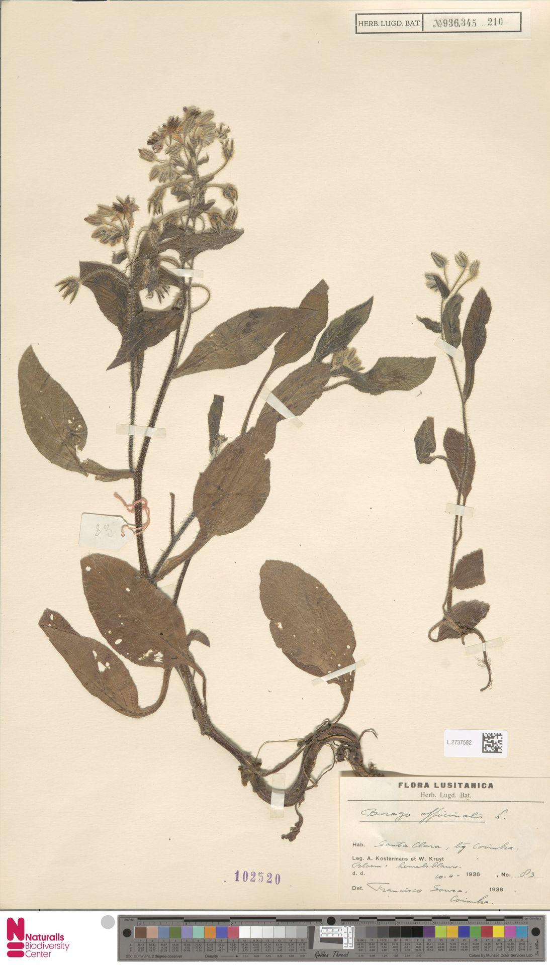 L.2737582 | Borago officinalis L.