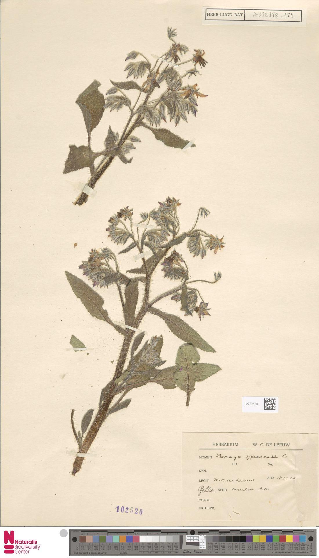L.2737583   Borago officinalis L.