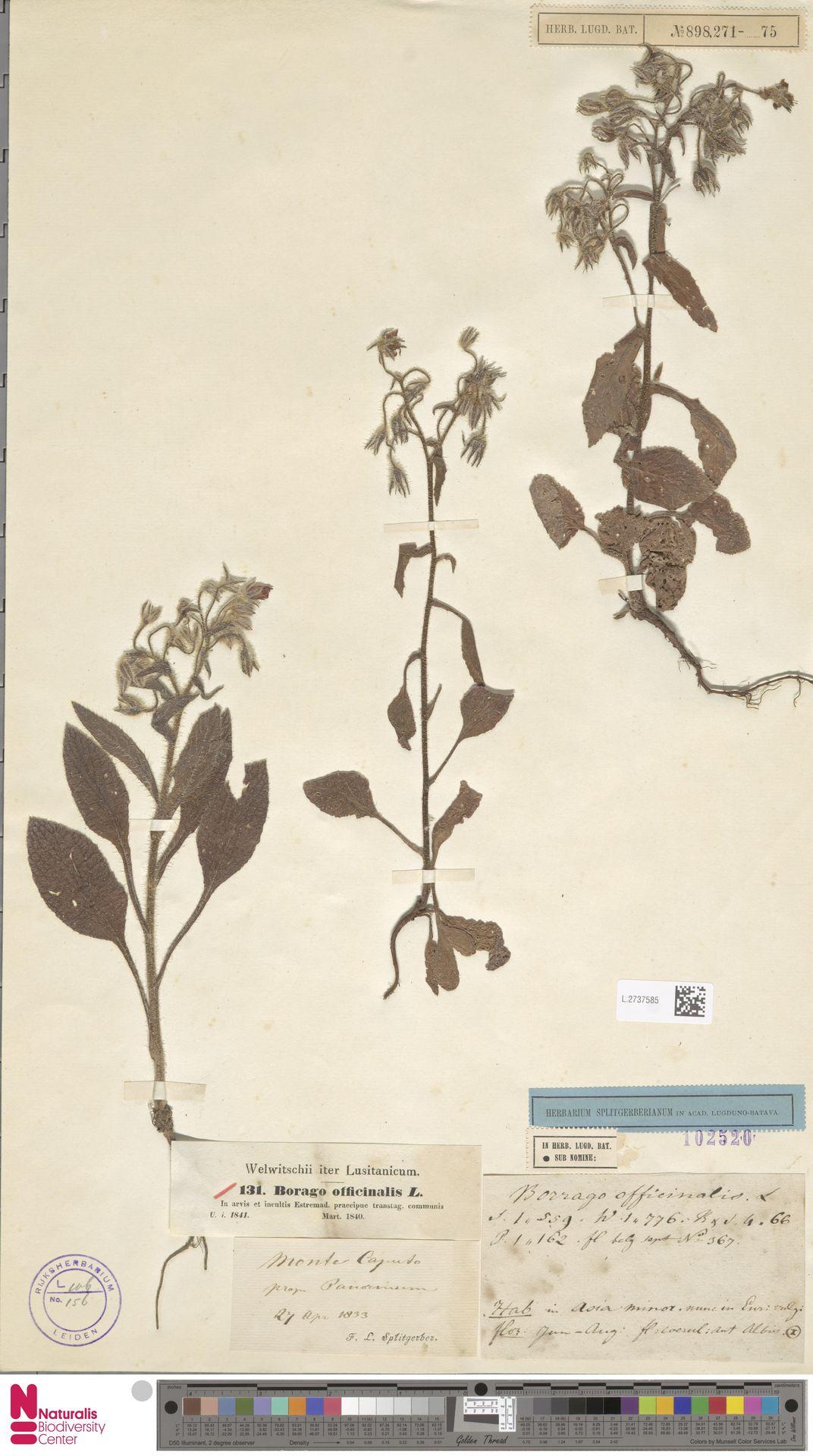 L.2737585 | Borago officinalis L.