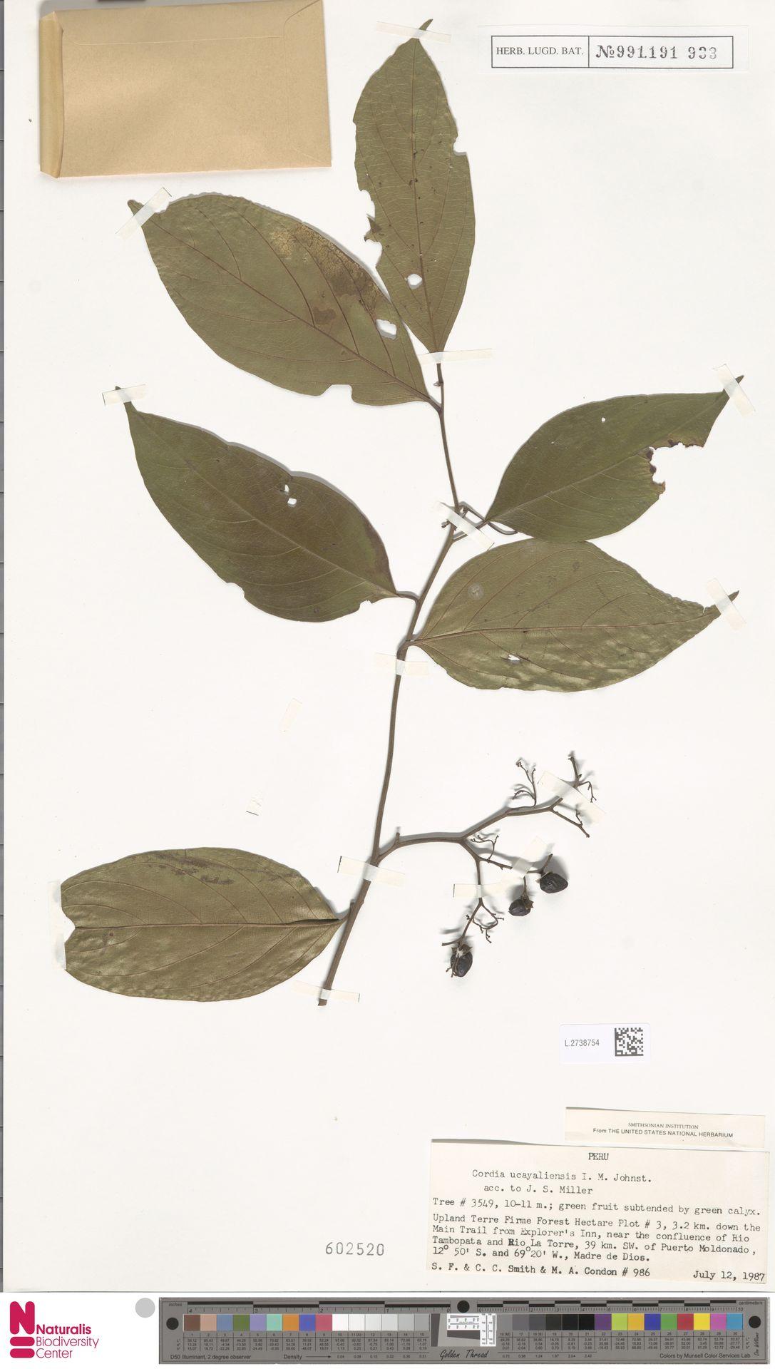 L.2738754 | Cordia ucayaliensis I.M.Johnst.