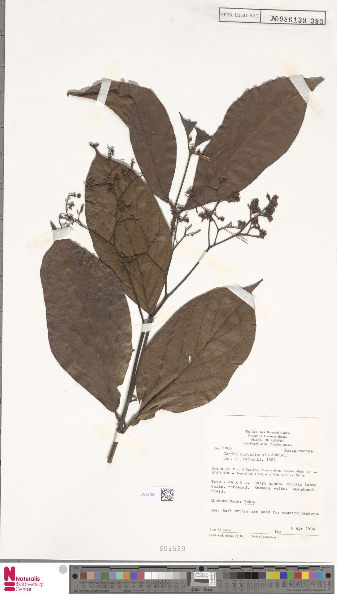 L.2738755 | Cordia ucayaliensis I.M.Johnst.