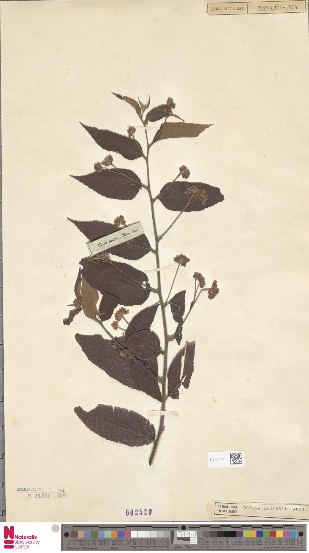 L.2738760 | Cordia ulmifolia Spreng.