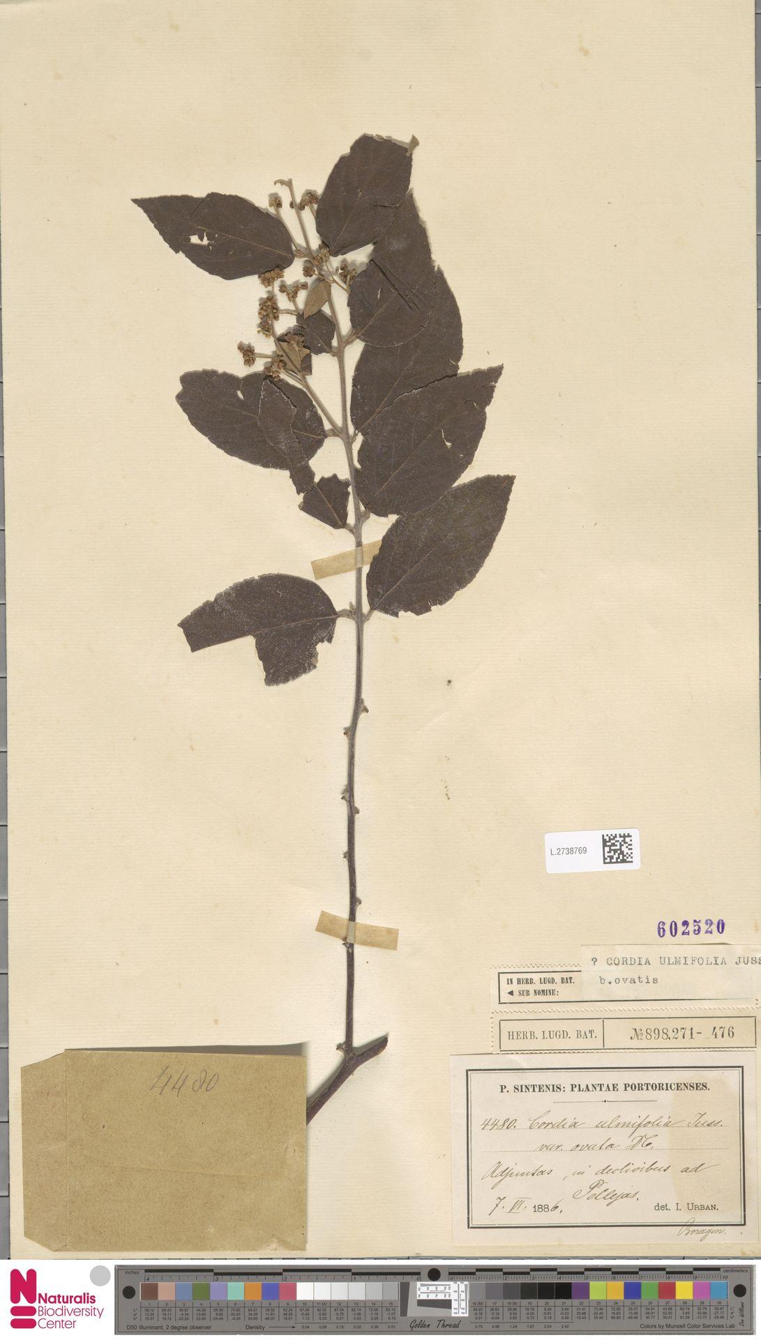 L.2738769 | Cordia ulmifolia var. ovata A.DC.