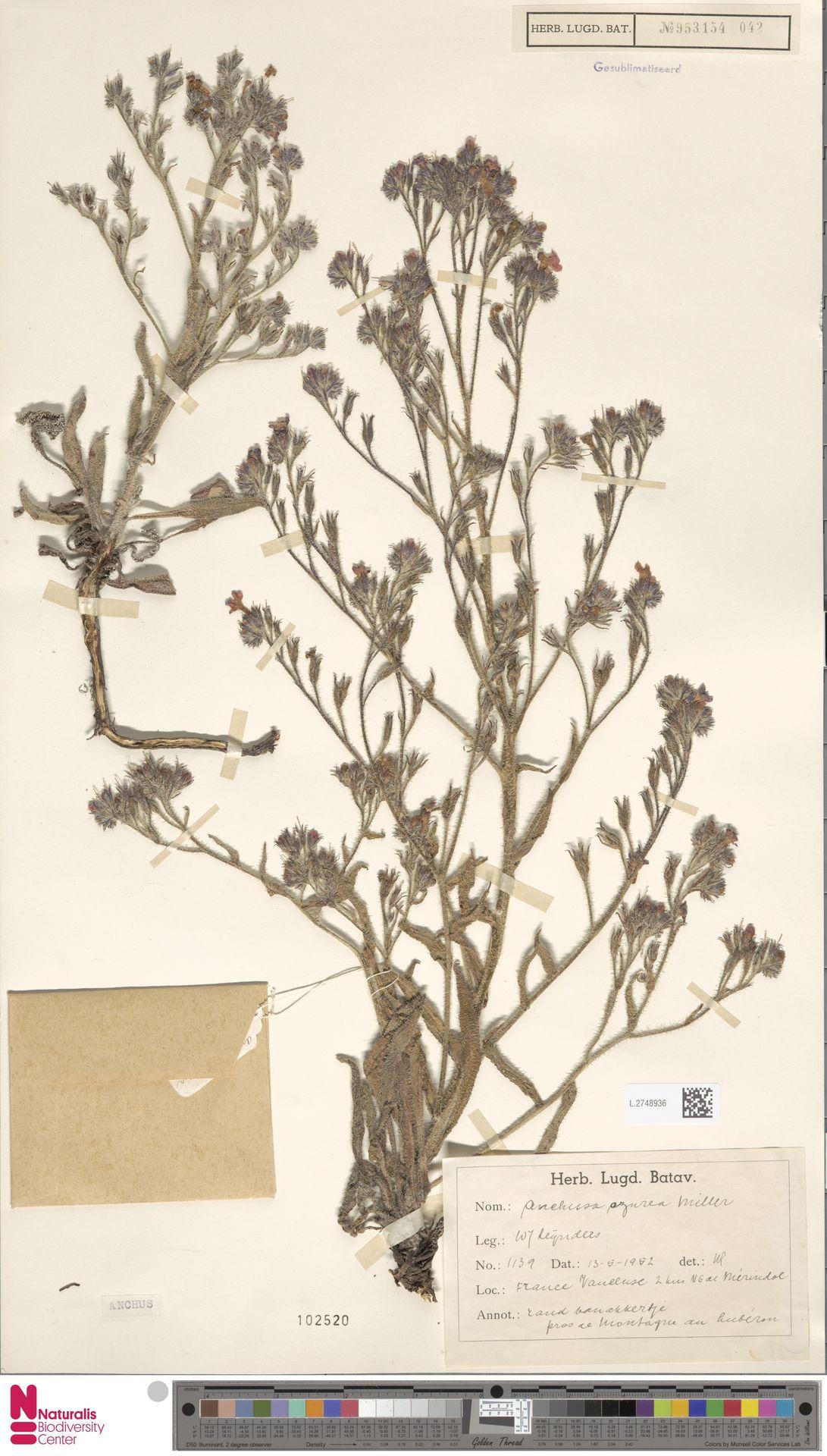 L.2748936 | Anchusa azurea Mill.