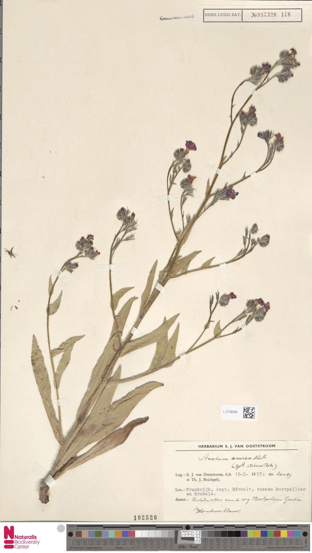 L.2748939 | Anchusa azurea Mill.