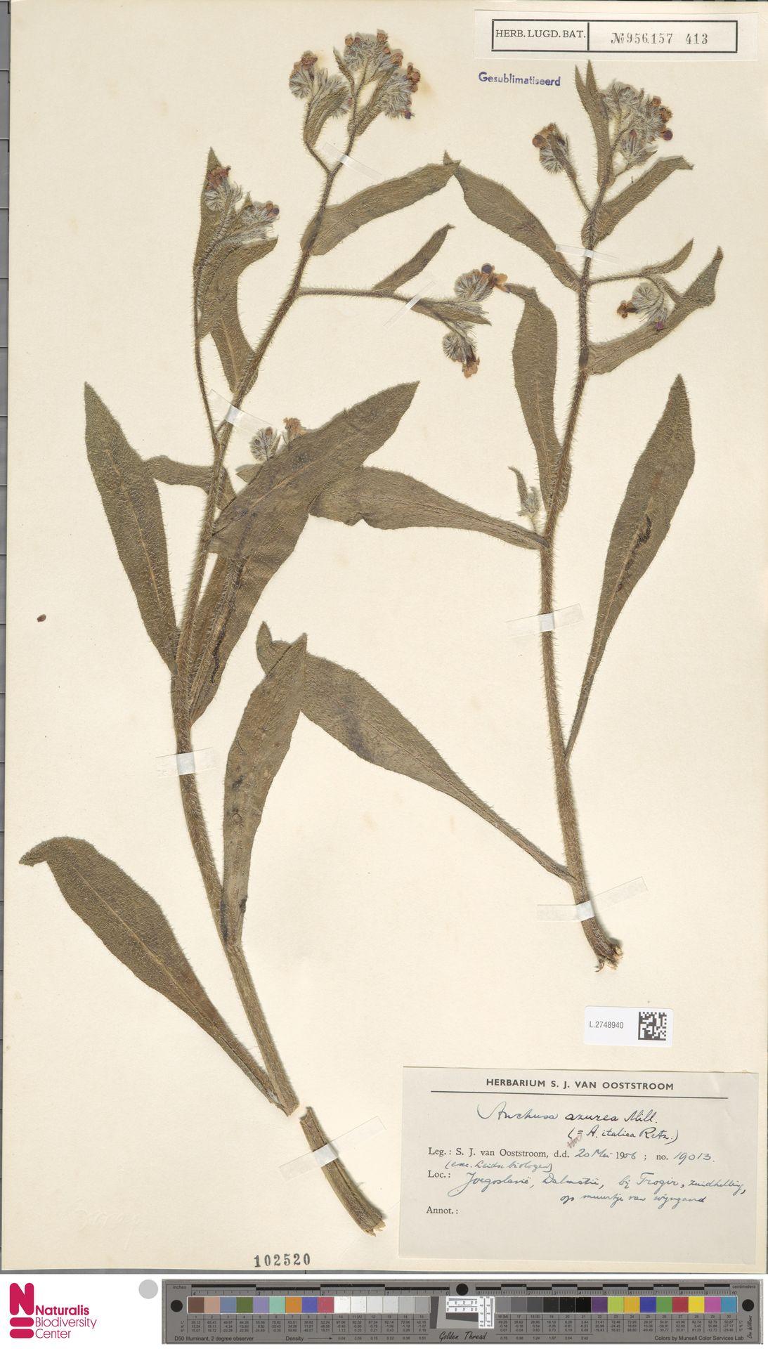 L.2748940 | Anchusa azurea Mill.