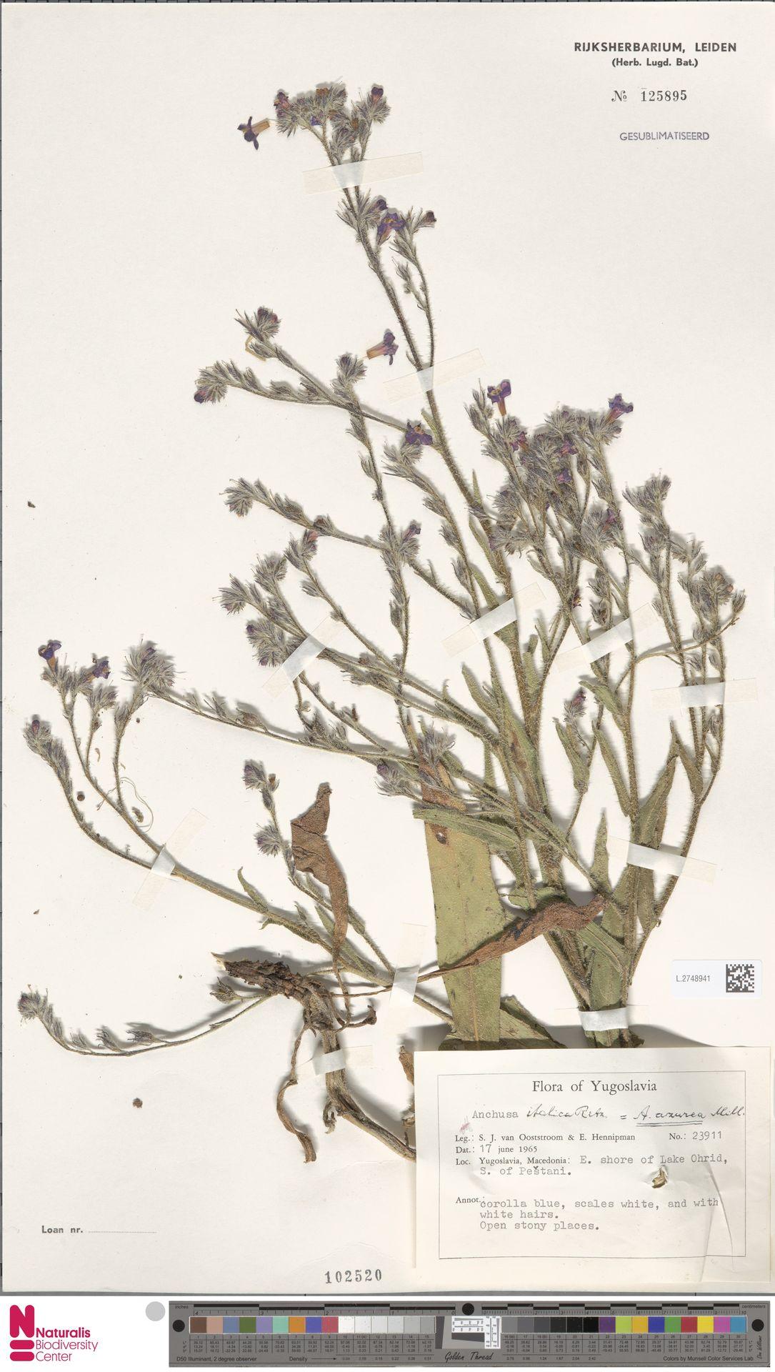 L.2748941 | Anchusa azurea Mill.