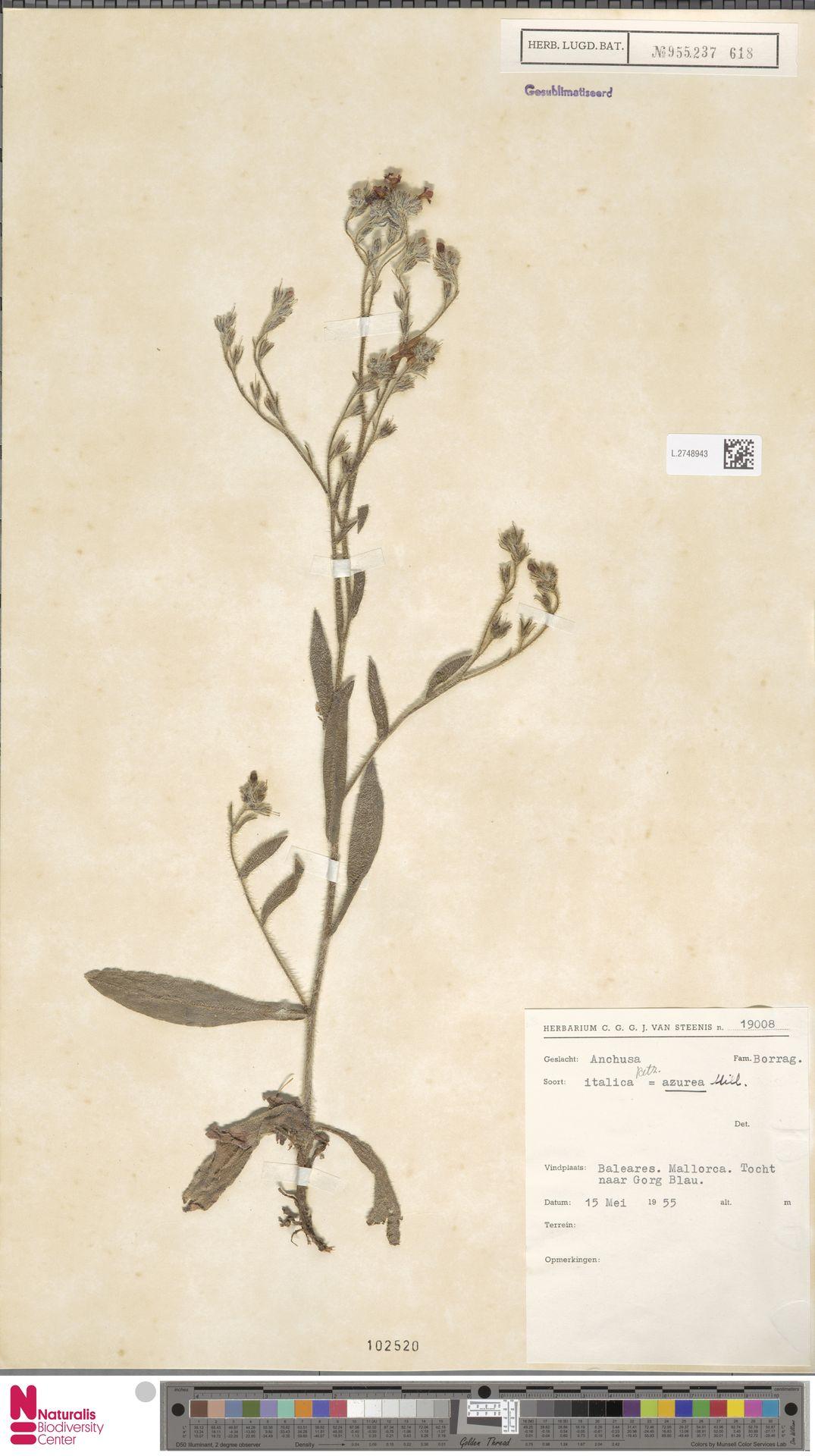 L.2748943 | Anchusa azurea Mill.