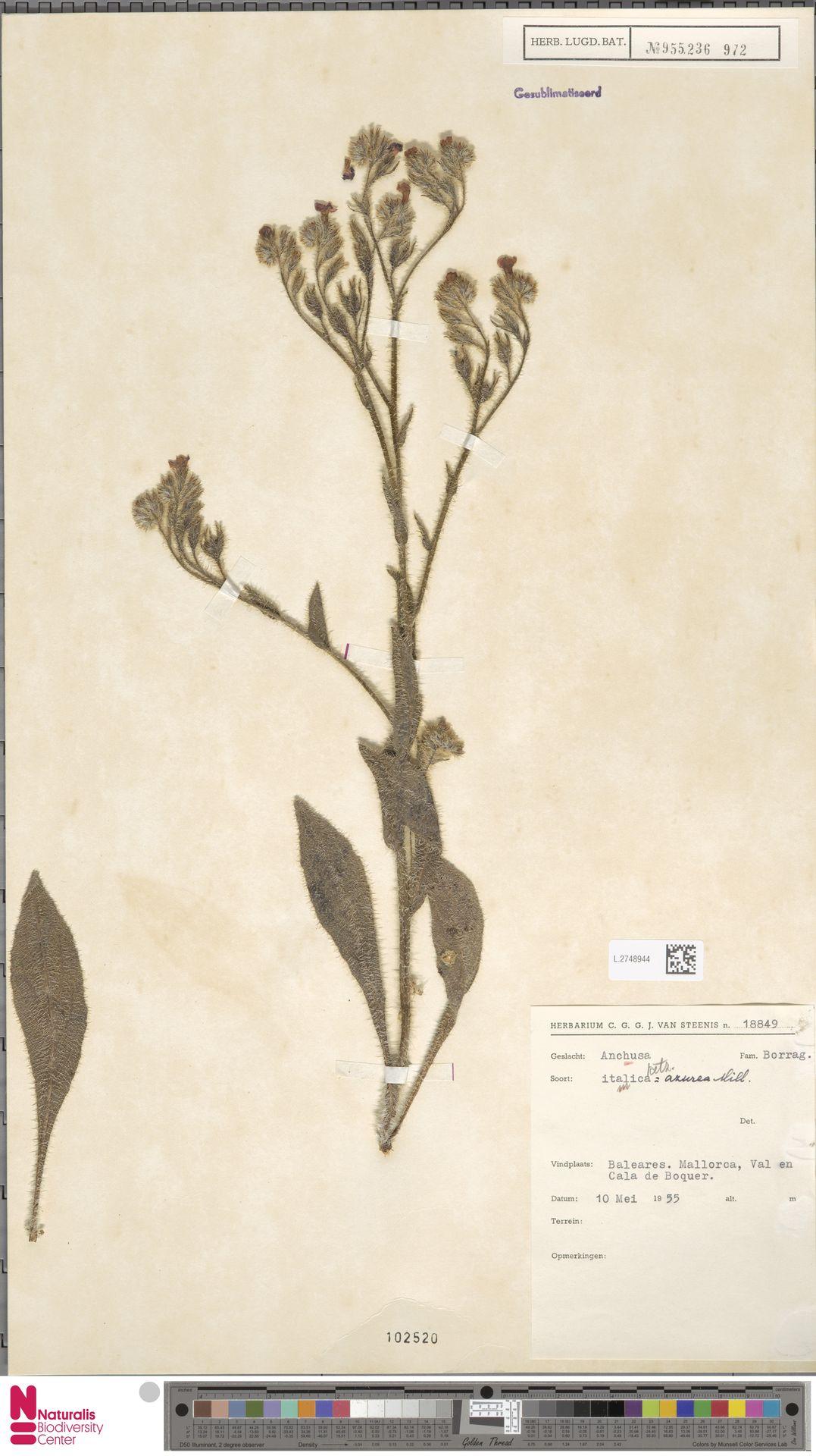 L.2748944 | Anchusa azurea Mill.