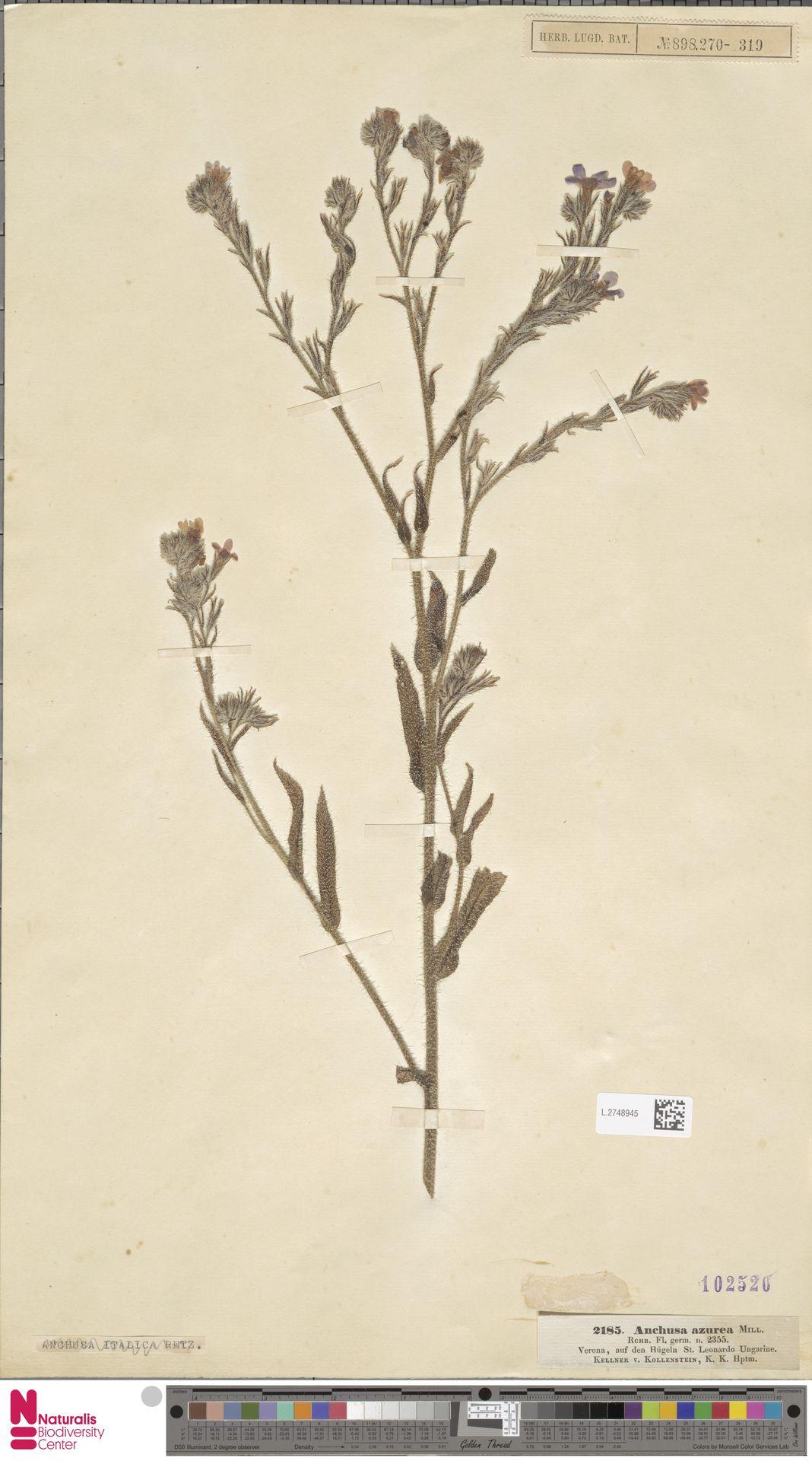 L.2748945 | Anchusa azurea Mill.