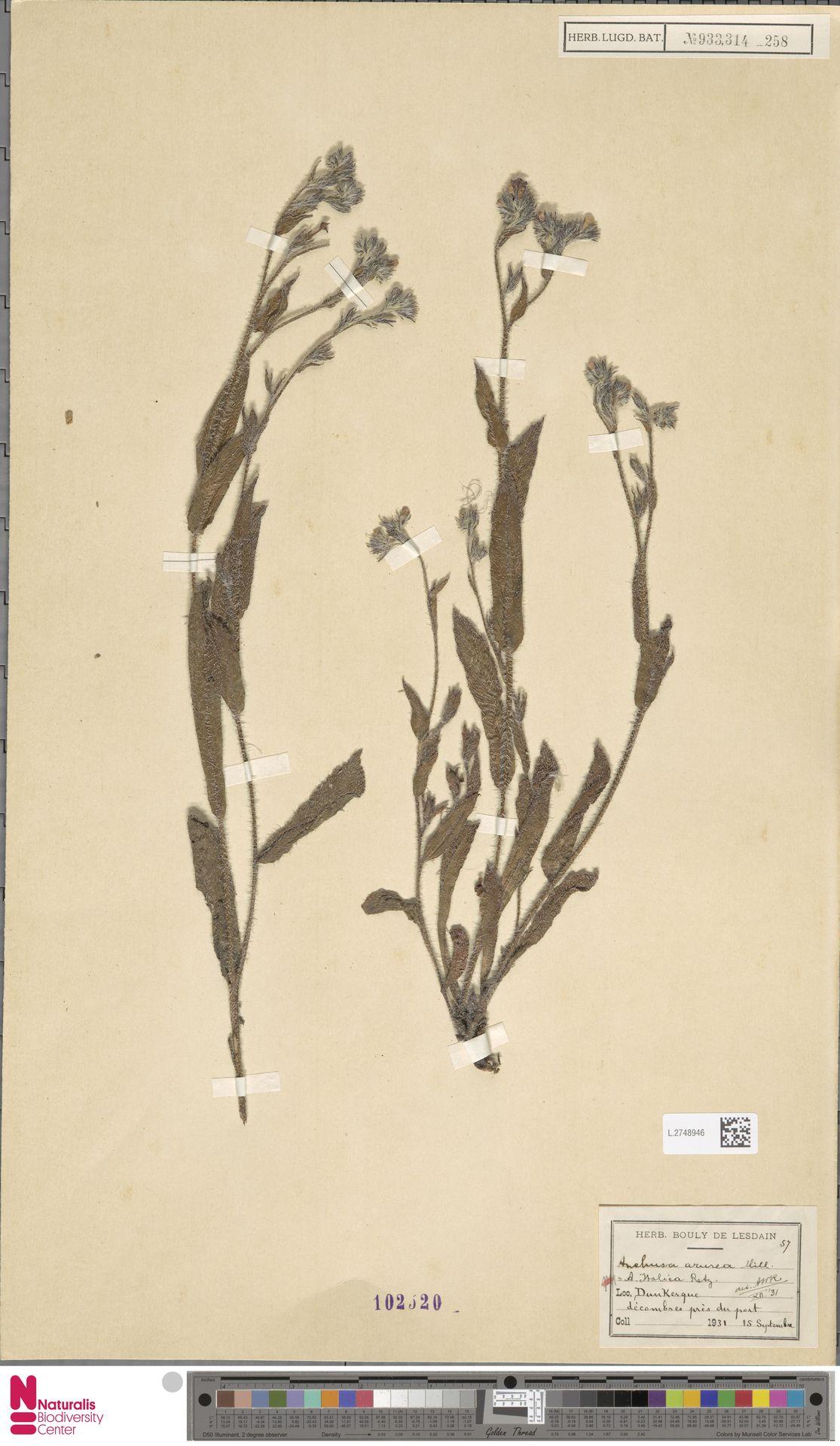 L.2748946 | Anchusa azurea Mill.