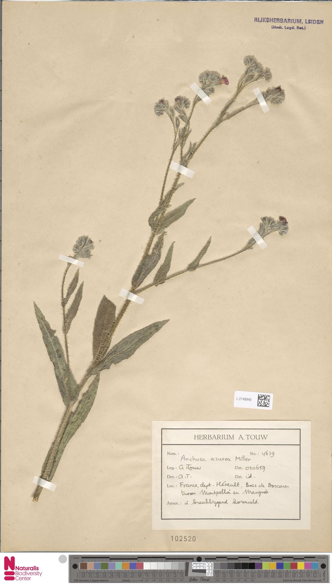 L.2748949 | Anchusa azurea Mill.