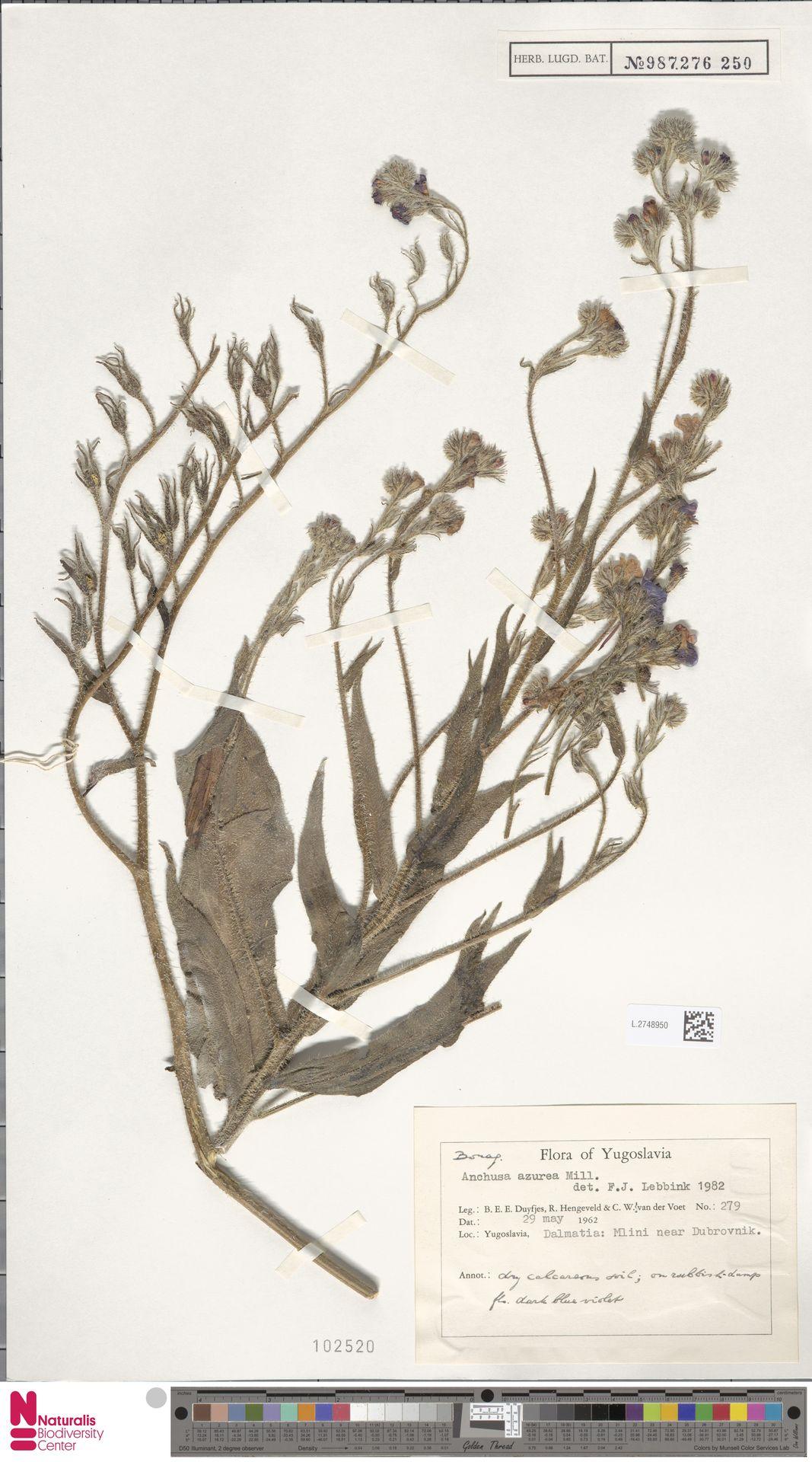 L.2748950 | Anchusa azurea Mill.