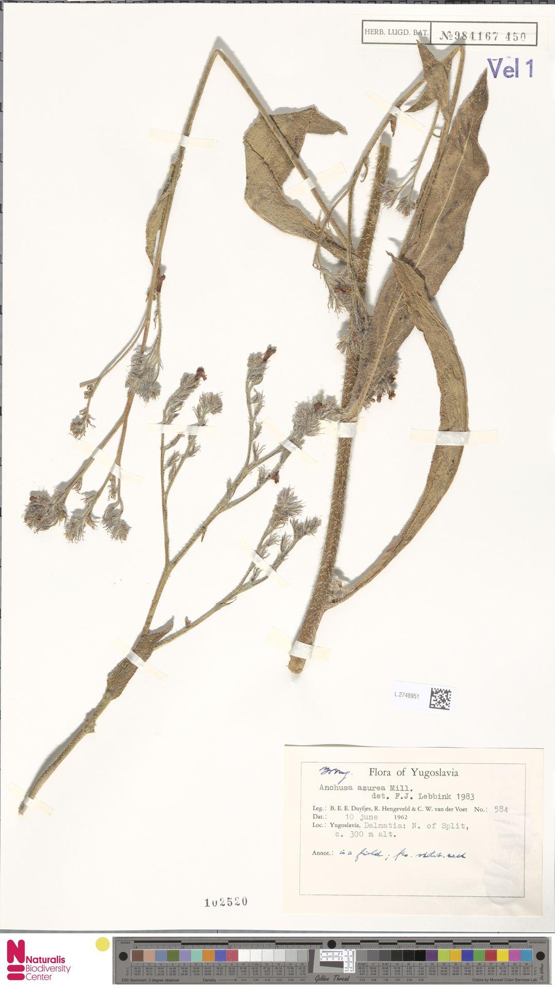 L.2748951 | Anchusa azurea Mill.