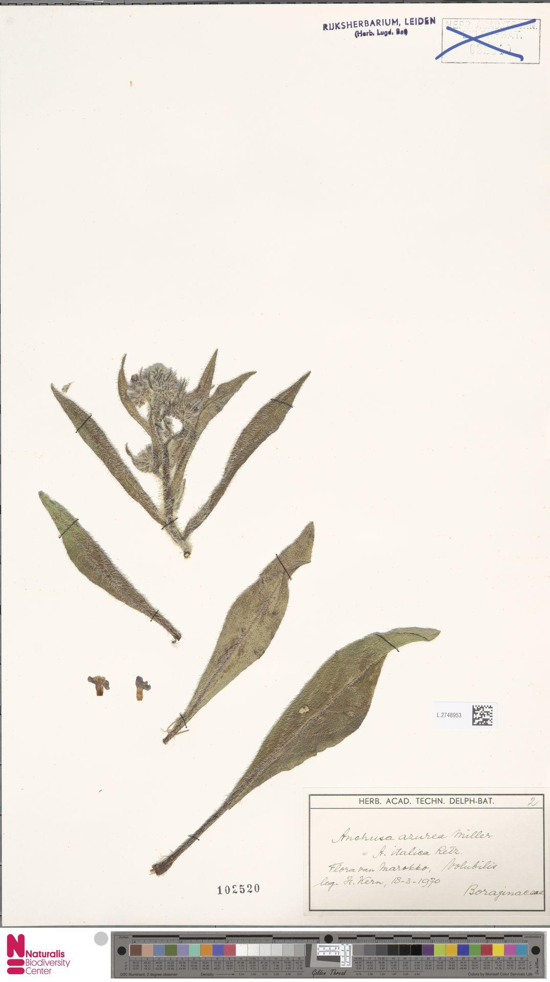 L.2748953 | Anchusa azurea Mill.