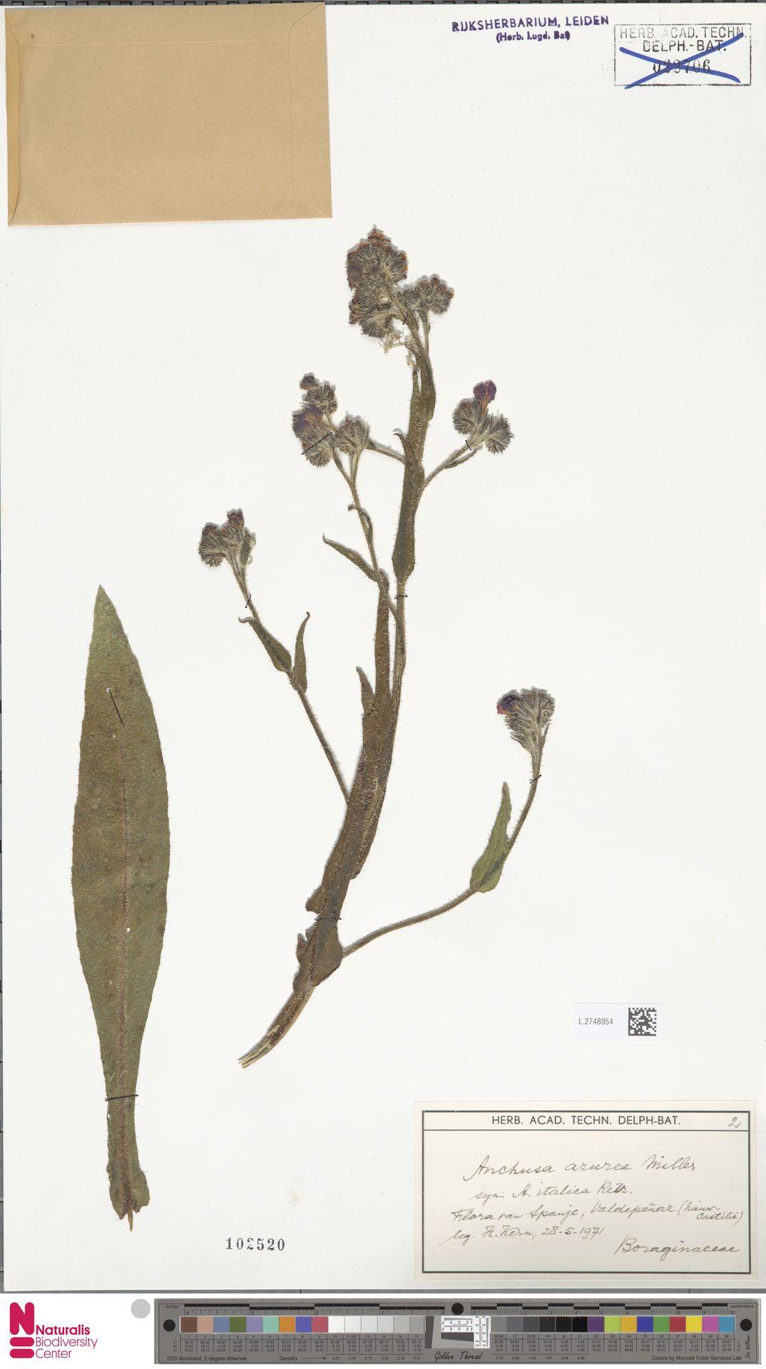 L.2748954 | Anchusa azurea Mill.