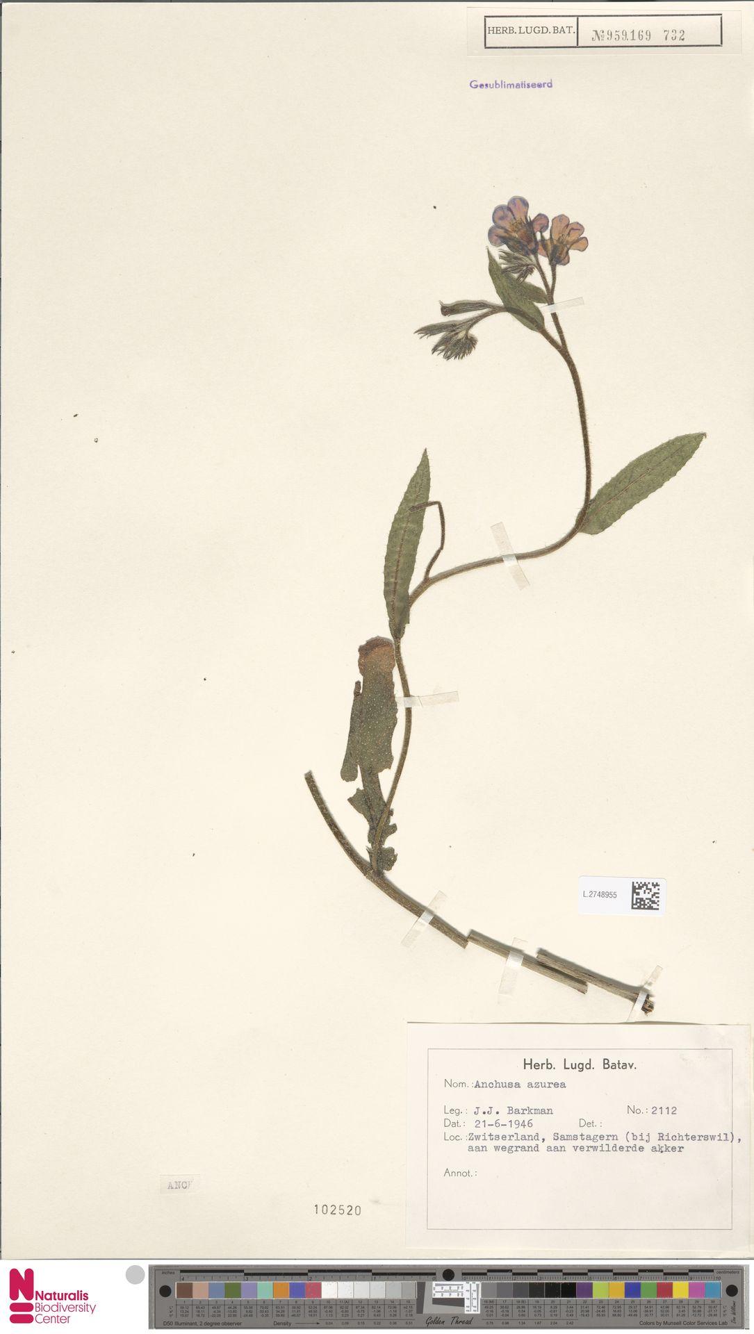 L.2748955 | Anchusa azurea Mill.