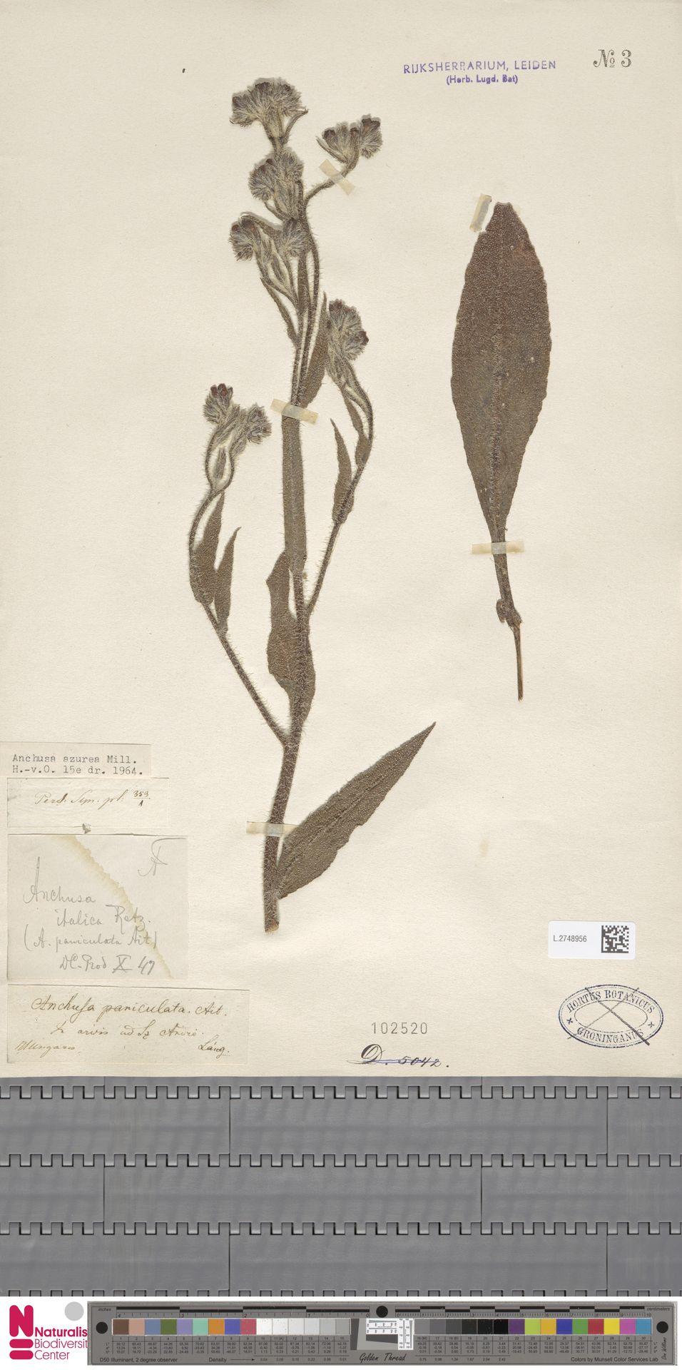 L.2748956 | Anchusa azurea Mill.