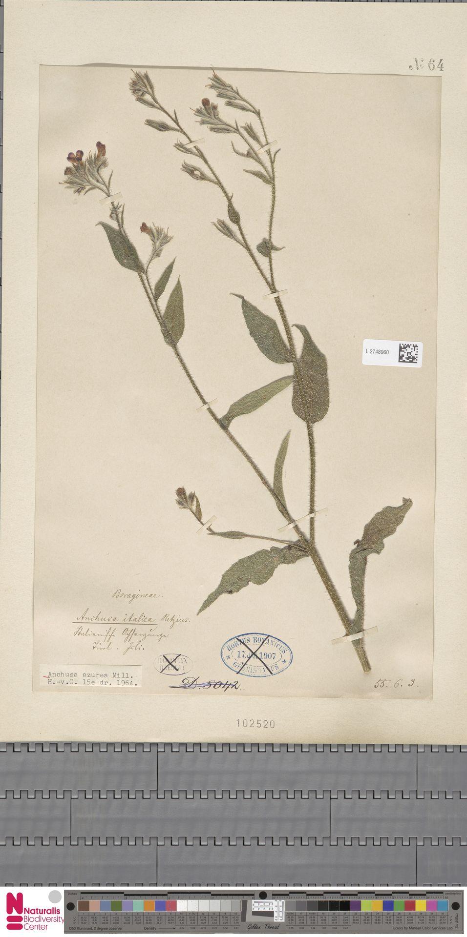 L.2748960 | Anchusa azurea Mill.