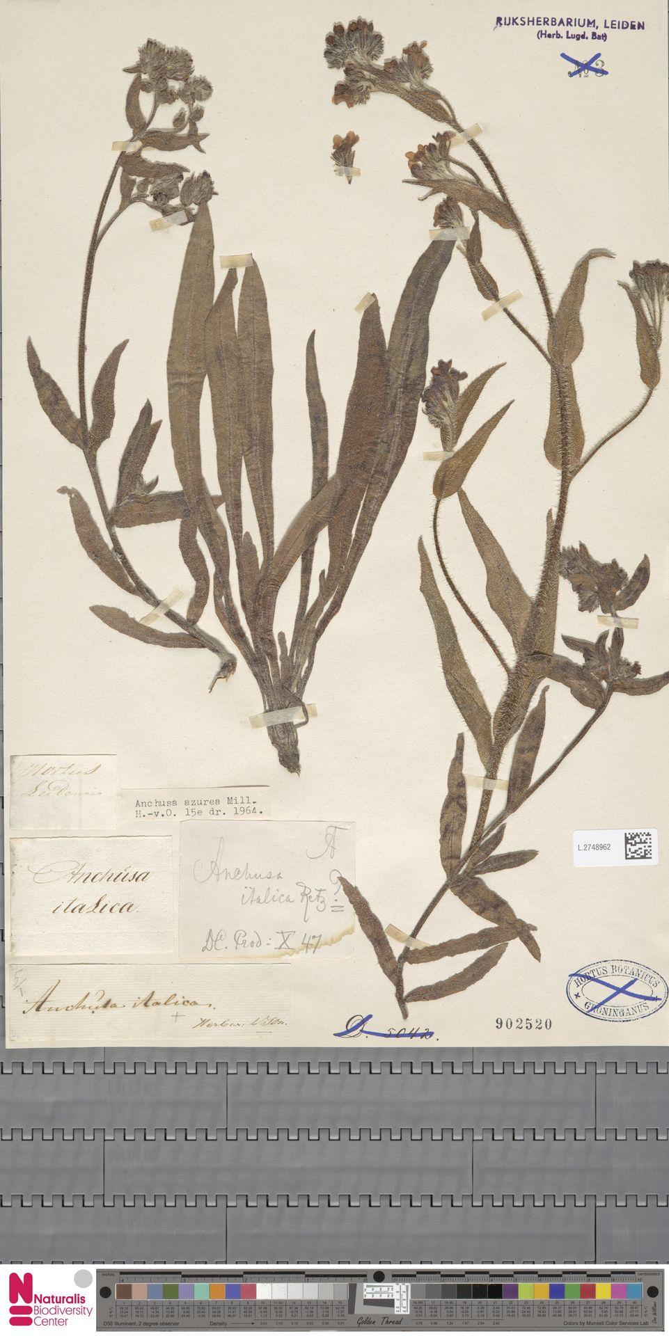 L.2748962 | Anchusa azurea Mill.