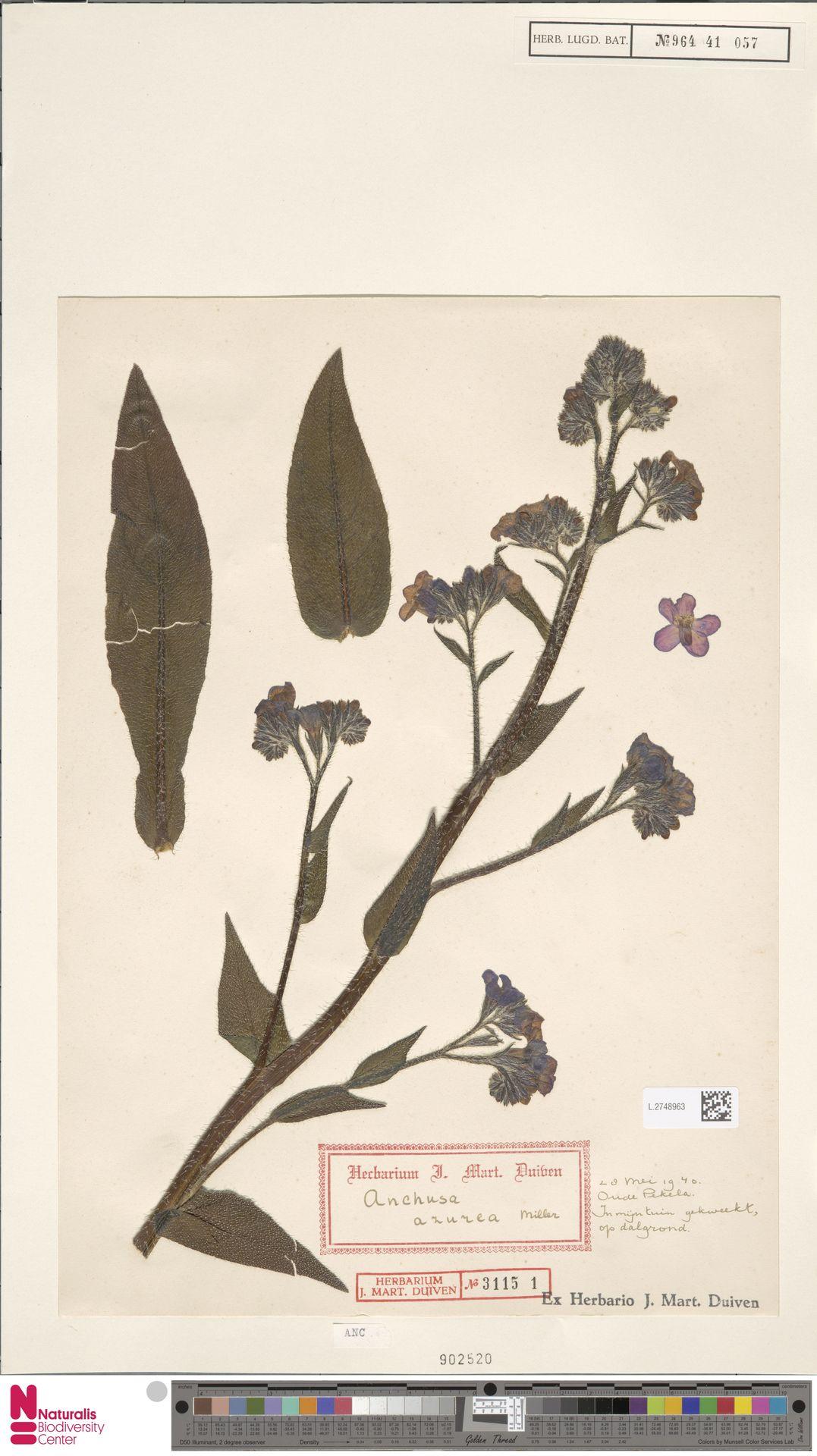L.2748963 | Anchusa azurea Mill.