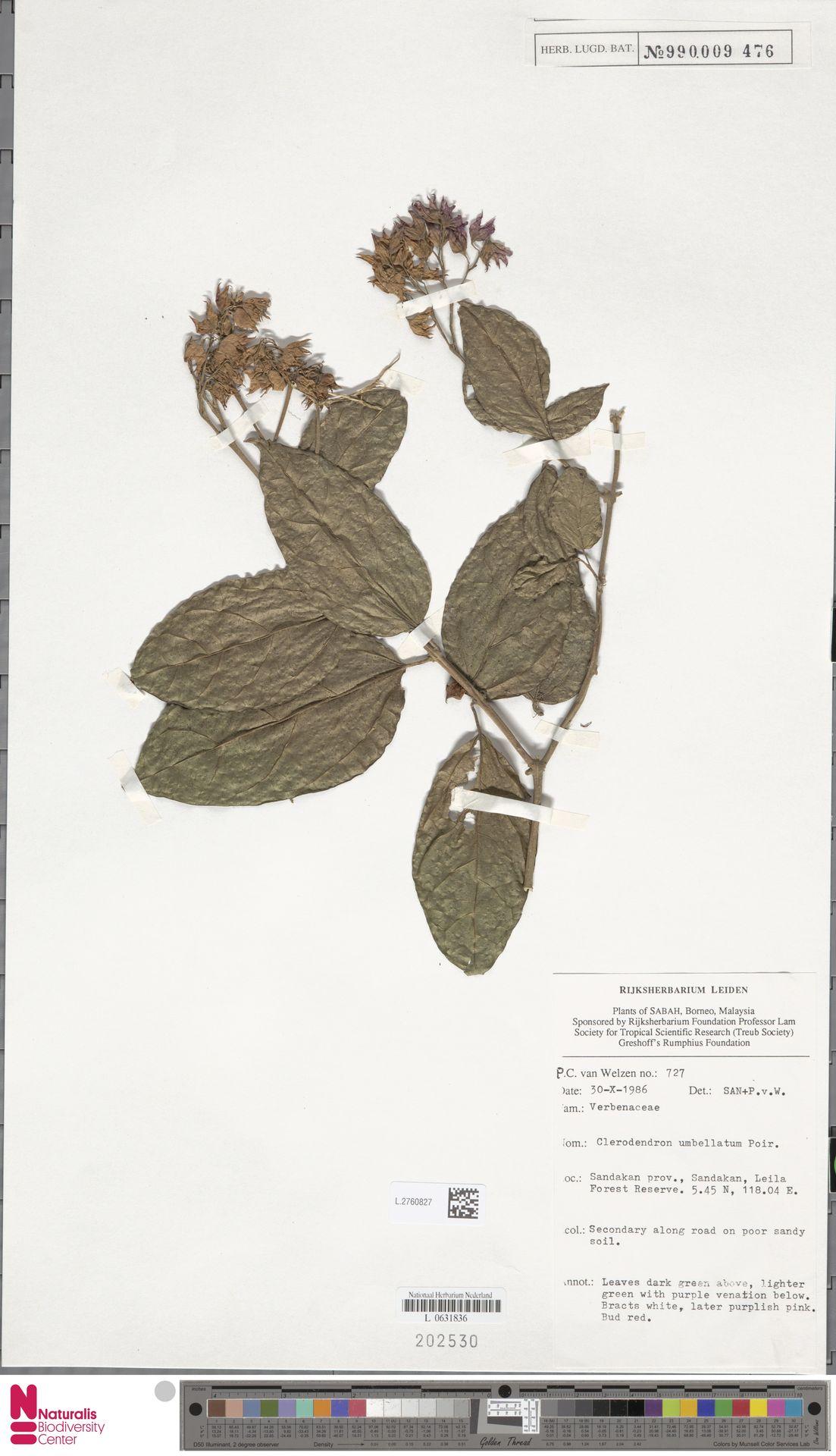 L.2760827 | Clerodendrum umbellatum Poir.