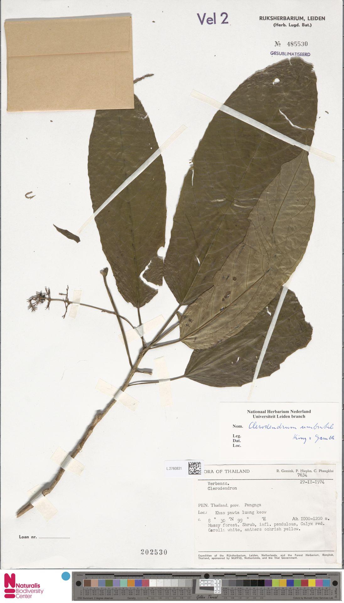 L.2760831 | Clerodendrum umbratile King & Gamble