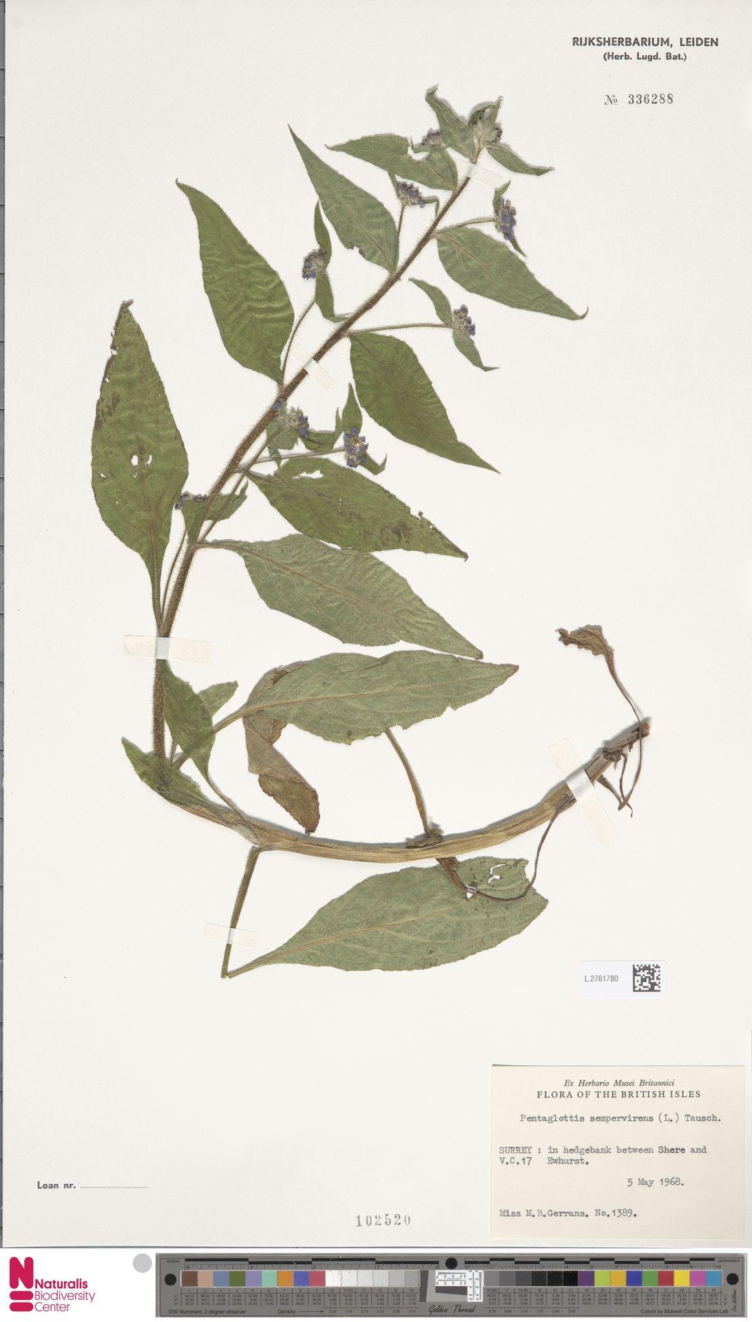 L.2761780   Pentaglottis sempervirens (L.) L.H.Bailey