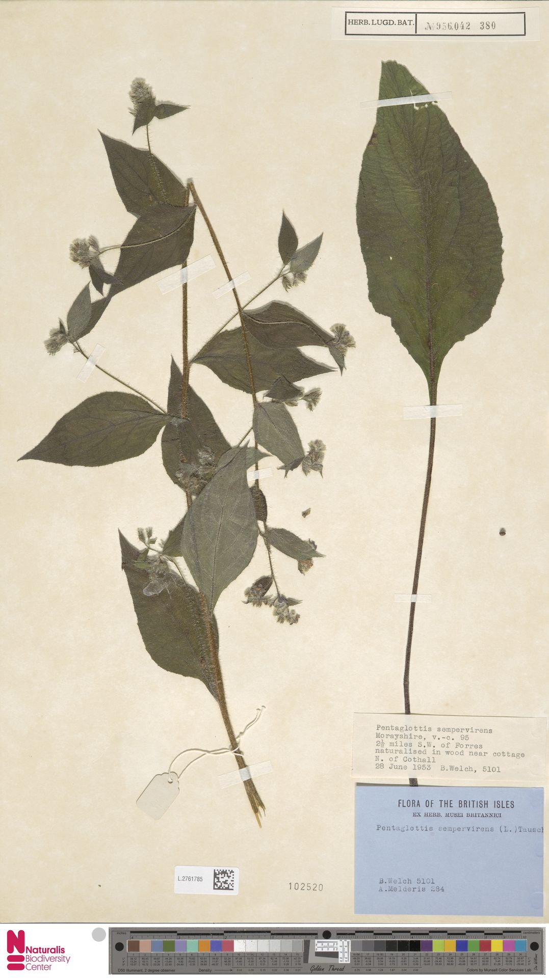 L.2761785 | Pentaglottis sempervirens (L.) L.H.Bailey