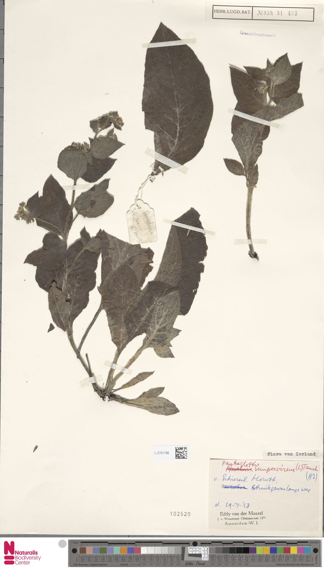 L.2761786 | Pentaglottis sempervirens (L.) L.H.Bailey
