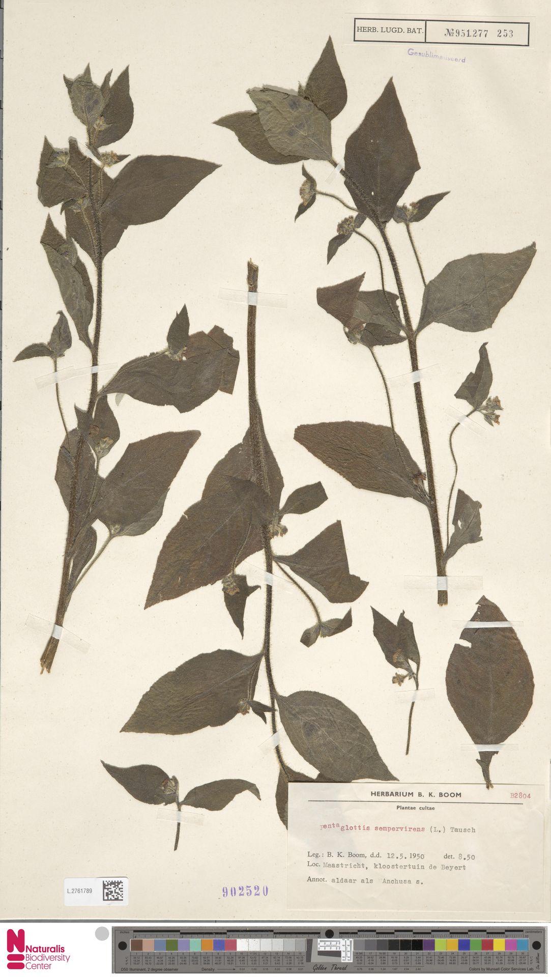 L.2761789 | Pentaglottis sempervirens (L.) L.H.Bailey