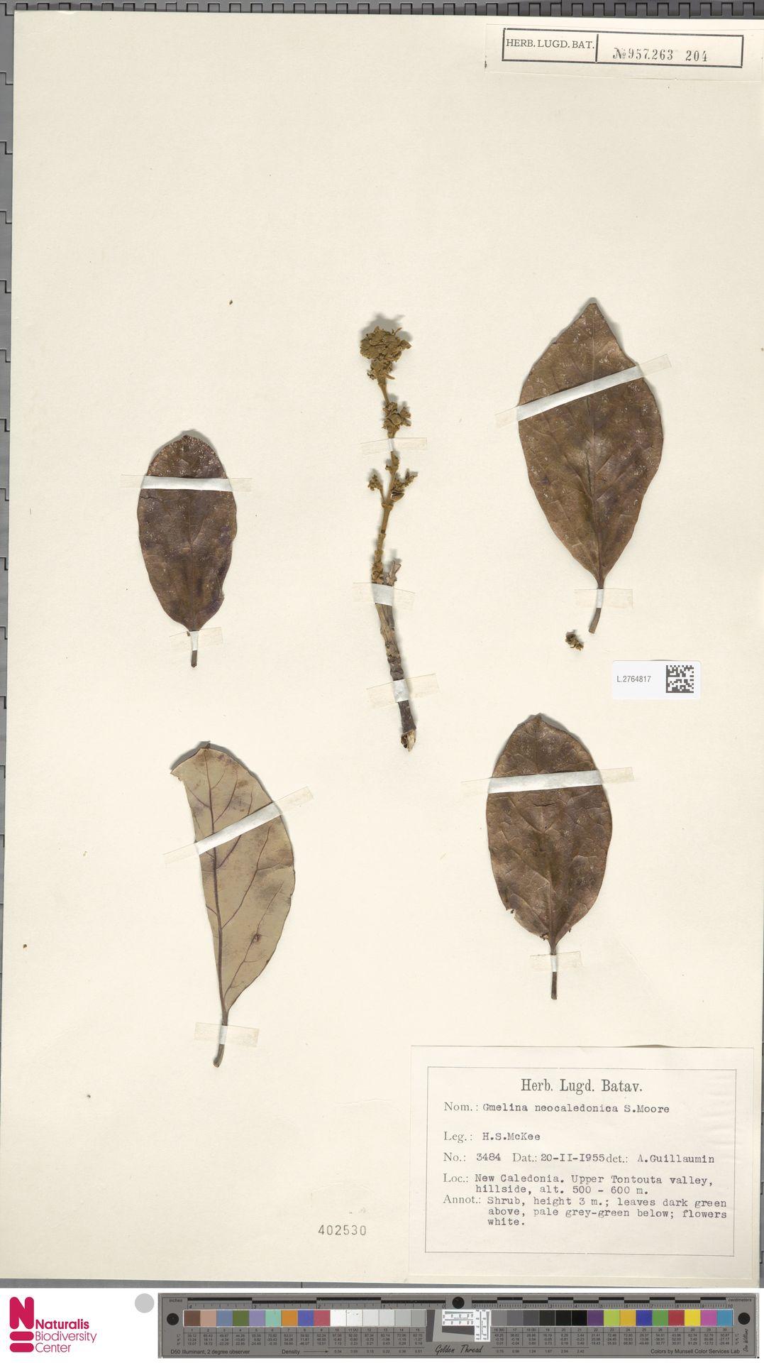 L.2764817 | Gmelina neocaledonica S.Moore