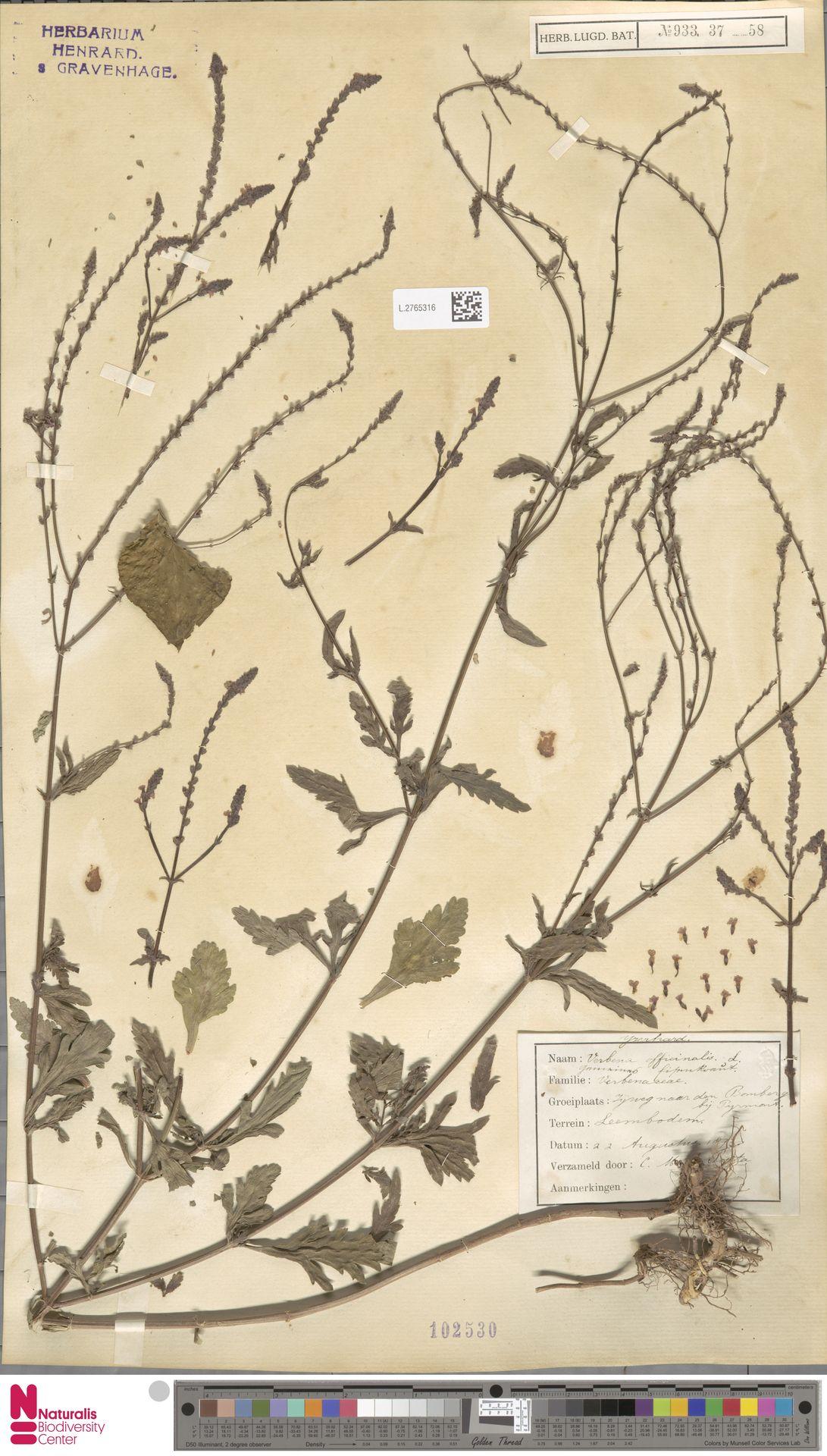 L.2765316   Verbena officinalis L.