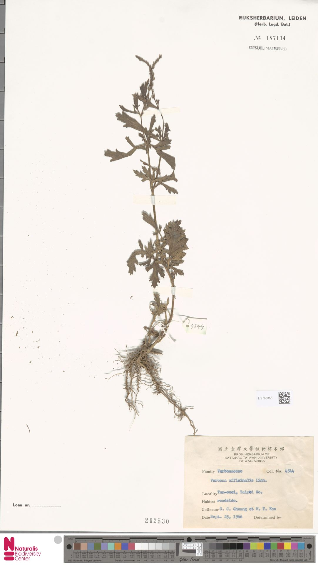 L.2765356 | Verbena officinalis L.
