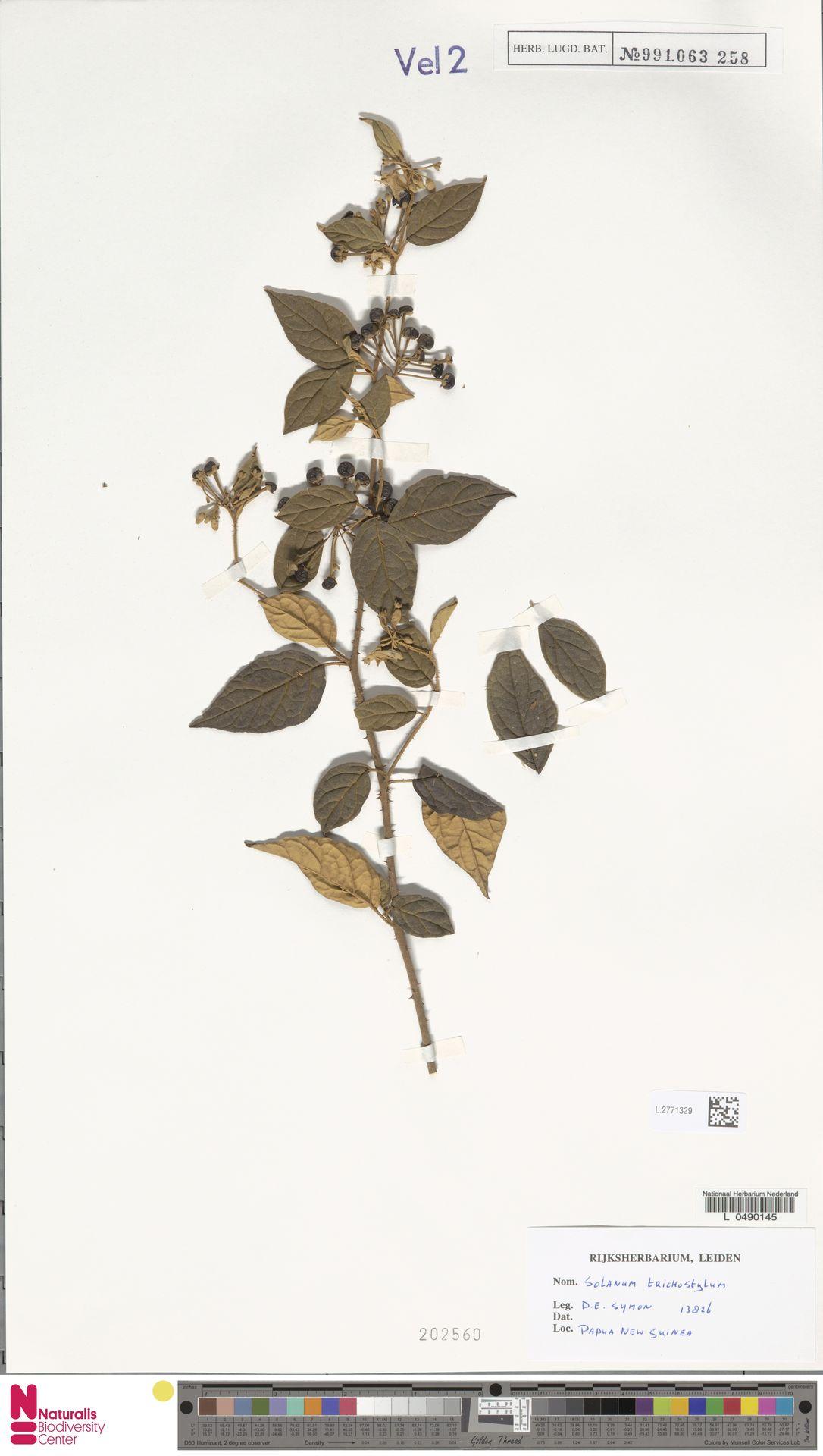 L.2771329   Solanum arachnoides A.R.Bean