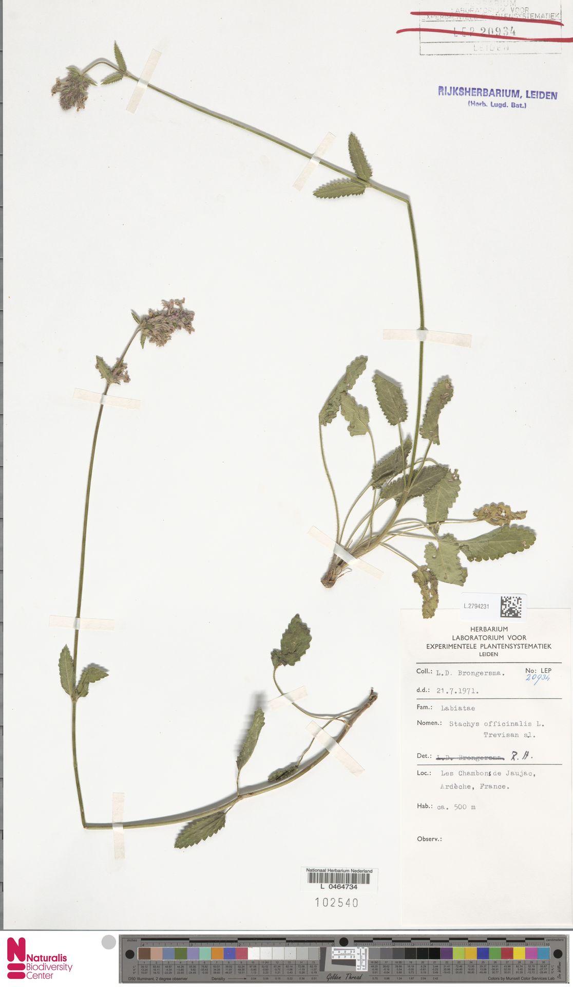 L.2794231 | Stachys officinalis (L.) Trevis.